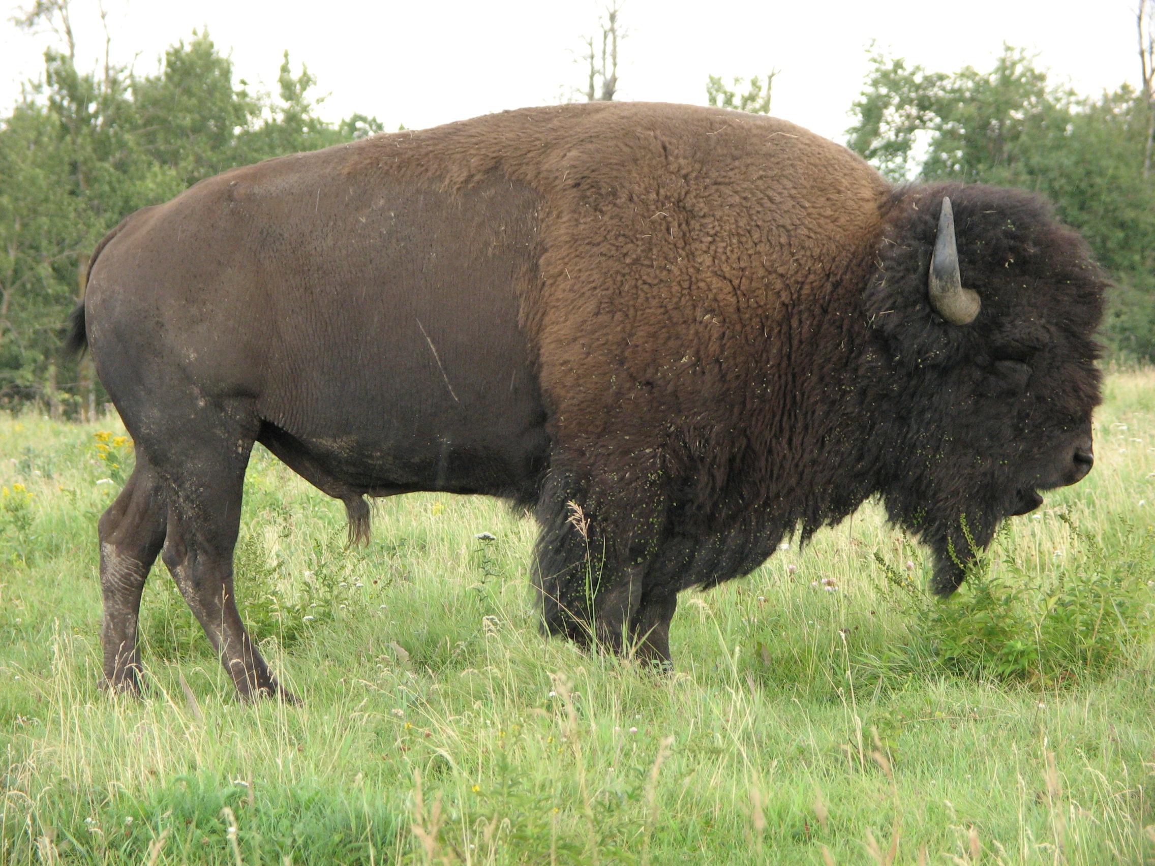 Bison buffaloes photo