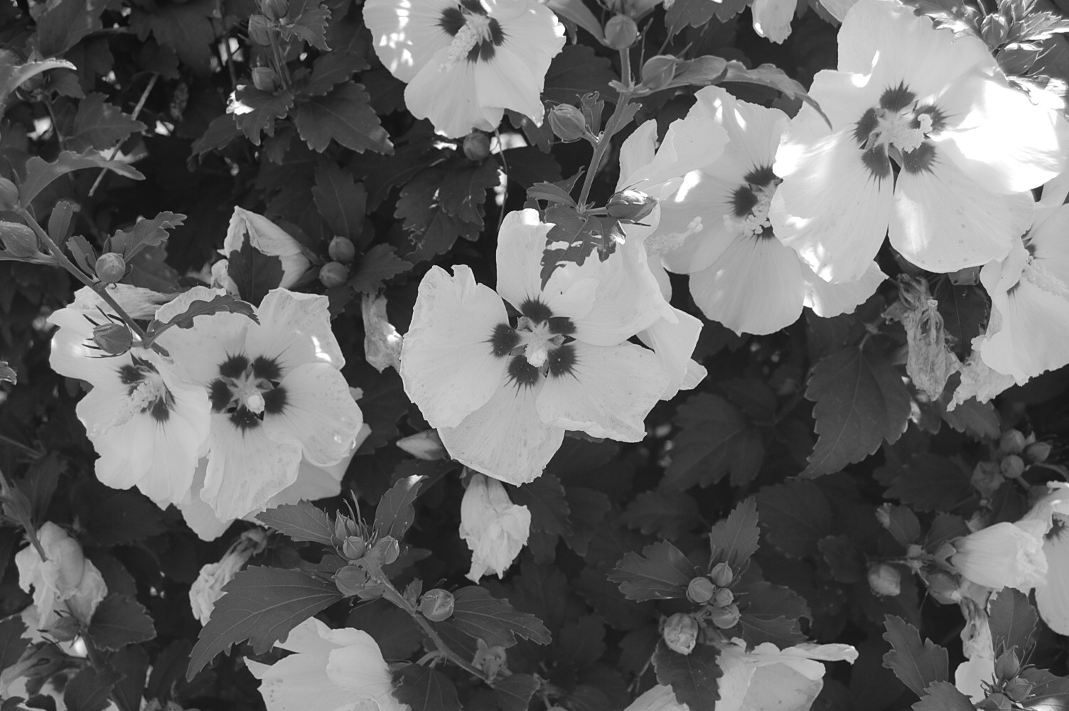Free Photo Black White Flowers Plants White Nature Free