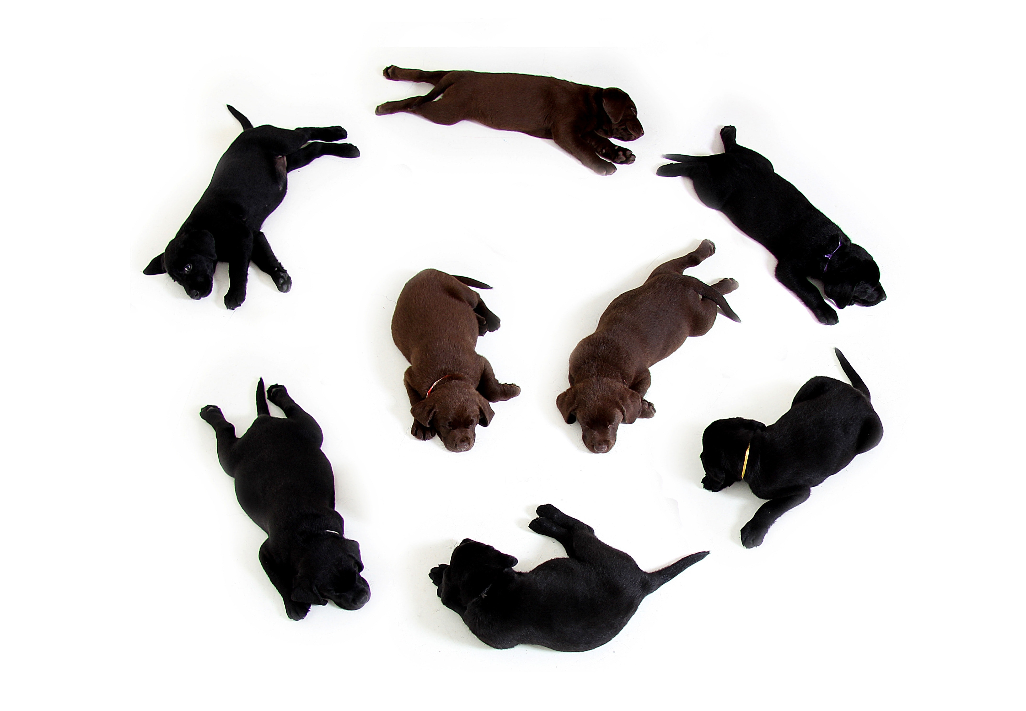 Black and Brown Labrador Puppies in a Circle Formation With 2 in the Middle, Pup, Pets, Mammal, Puppies, HQ Photo