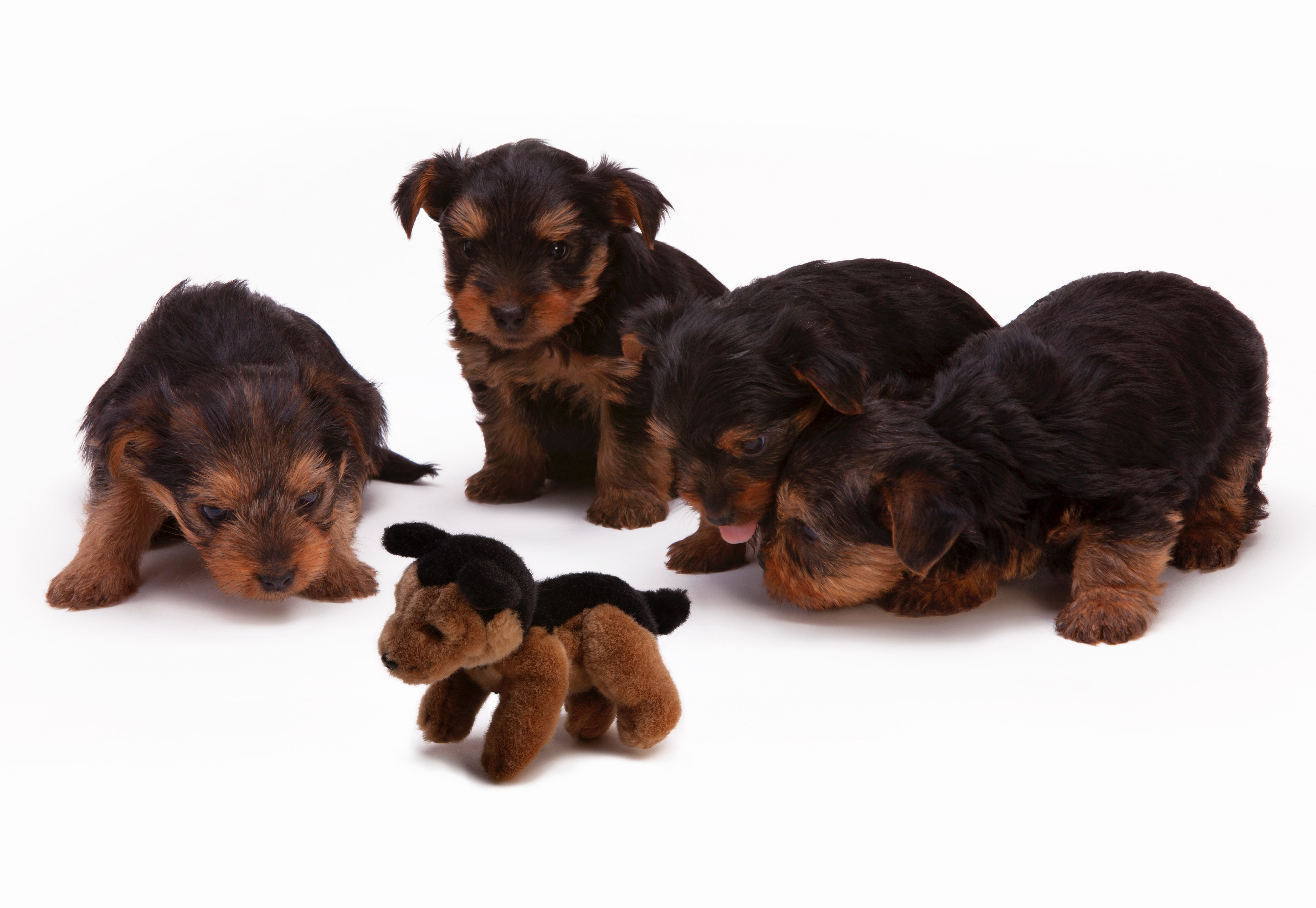 Black and Brown Long Haired Puppies, Mammal, Young, Yorkshire Terrier, Toy, HQ Photo