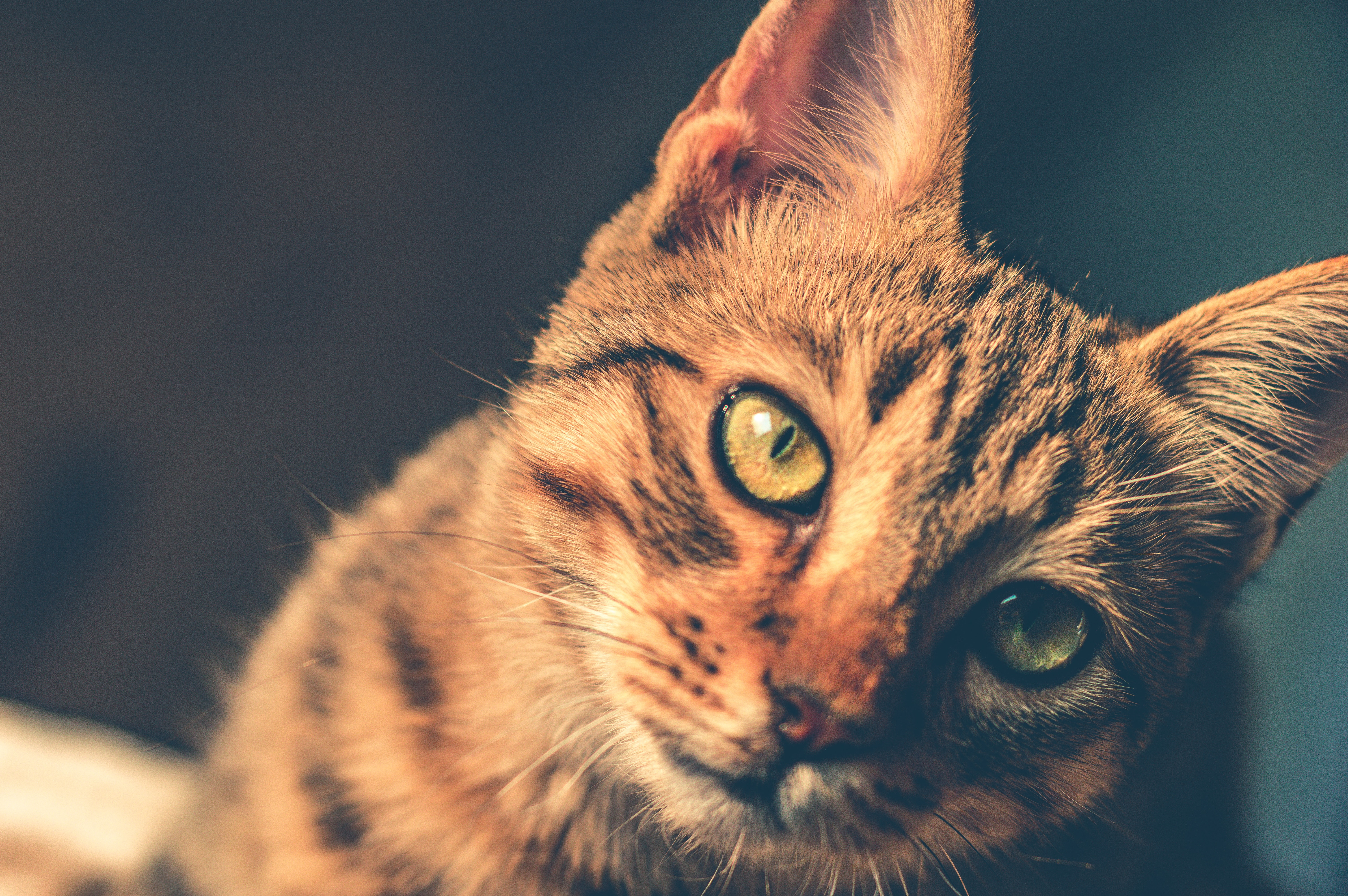 Black and brown tabby cat photo