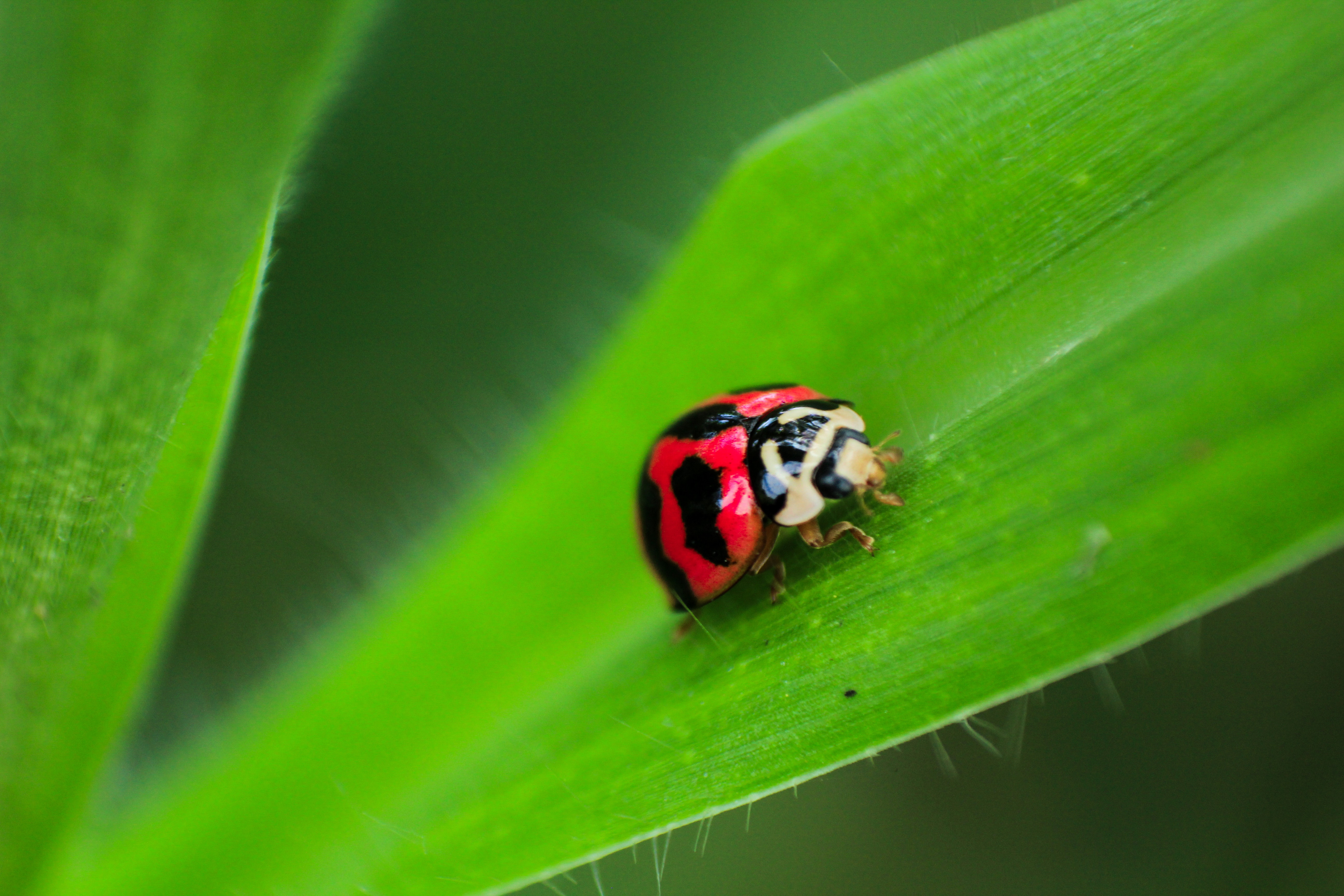 Black and Red Ladybug on Green Leaf, Beetle, Leaf, Summer, Red, HQ Photo