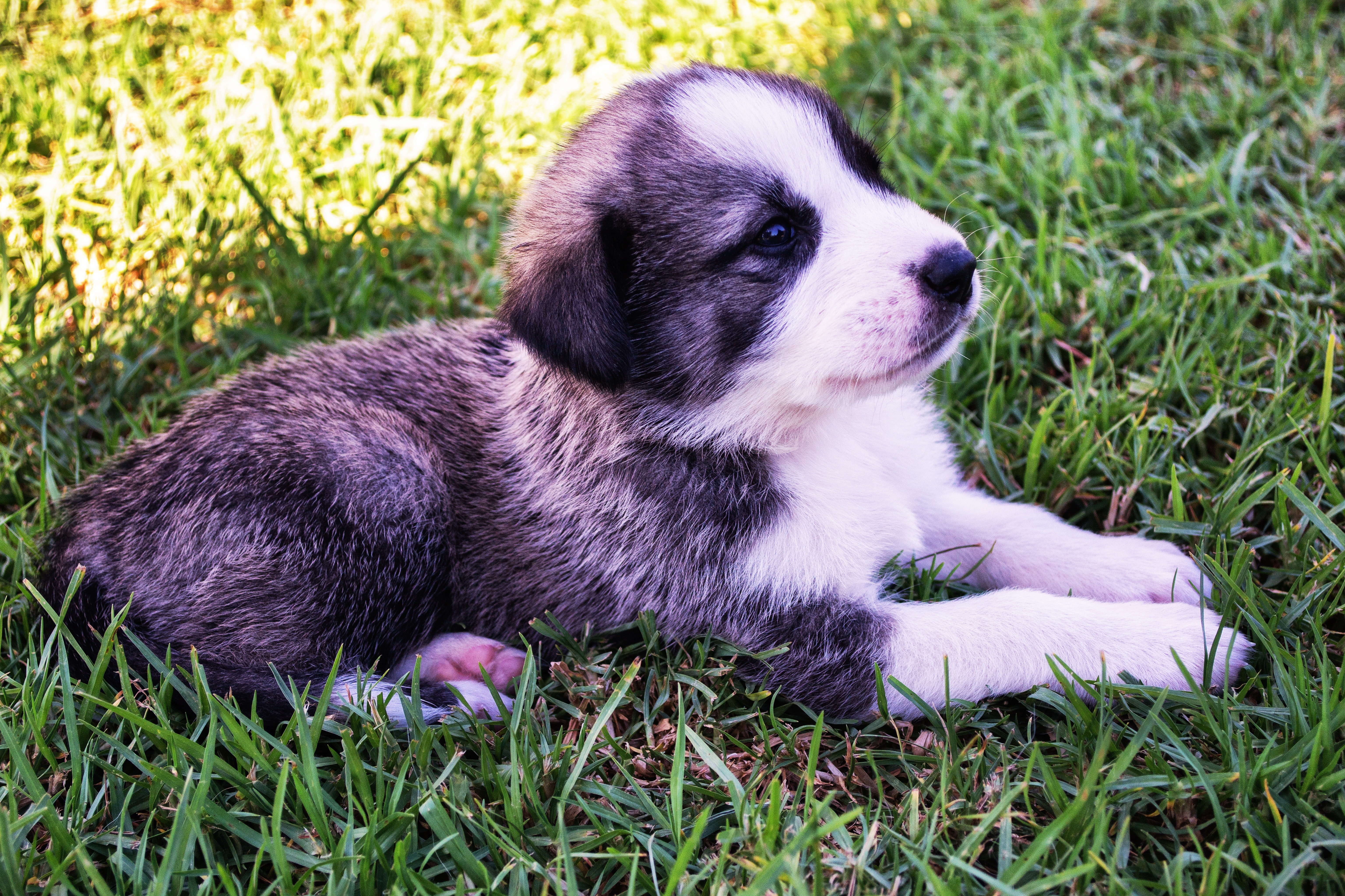 Black and short coat white puppy photo