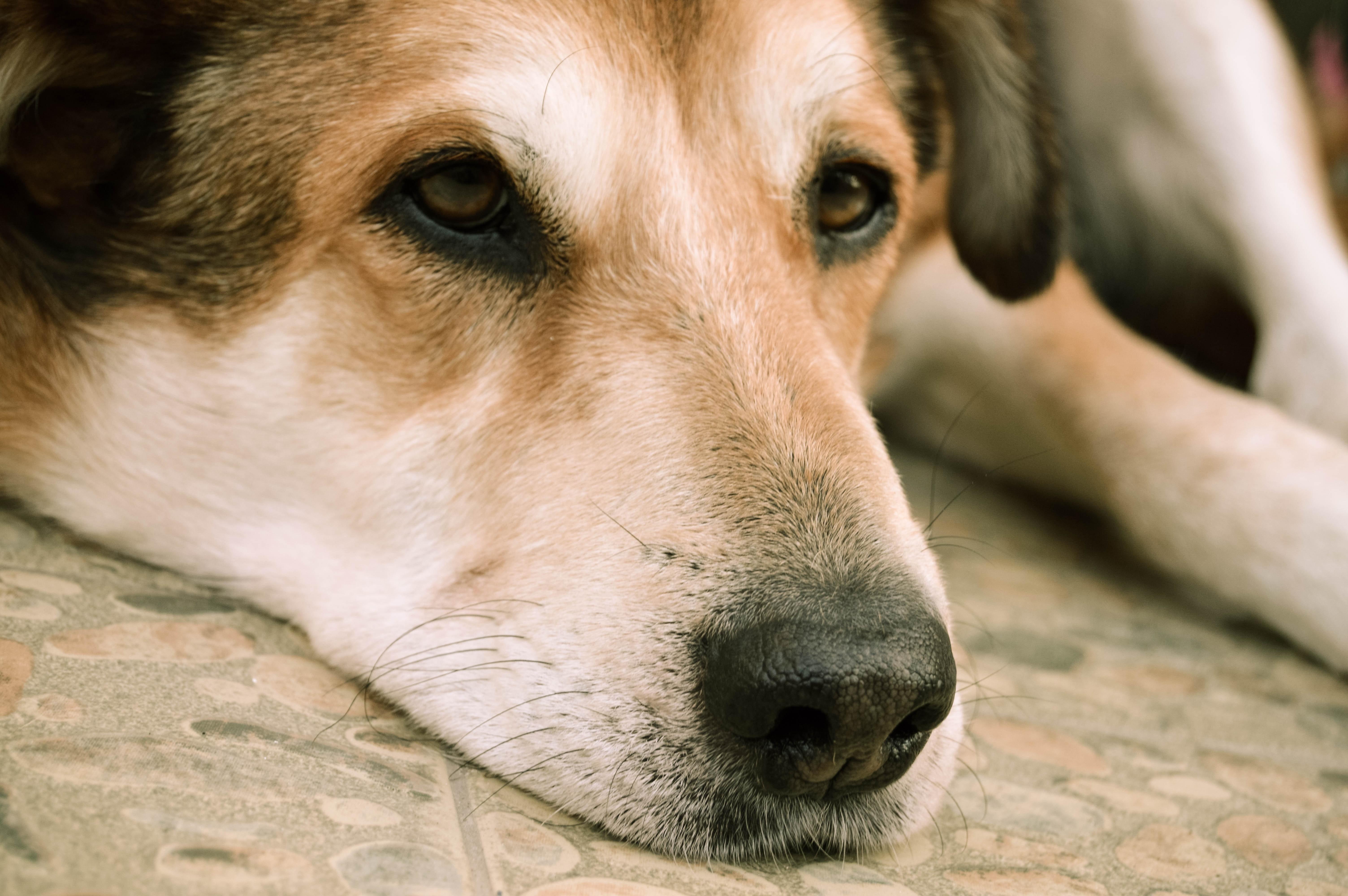 Black and tan short coat medium size dog lying on floor photo
