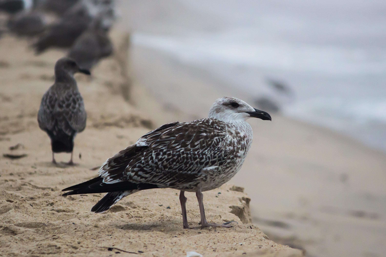 Black and White Bird on Brown Sand, Animals, Avian, Beach, Beak, HQ Photo