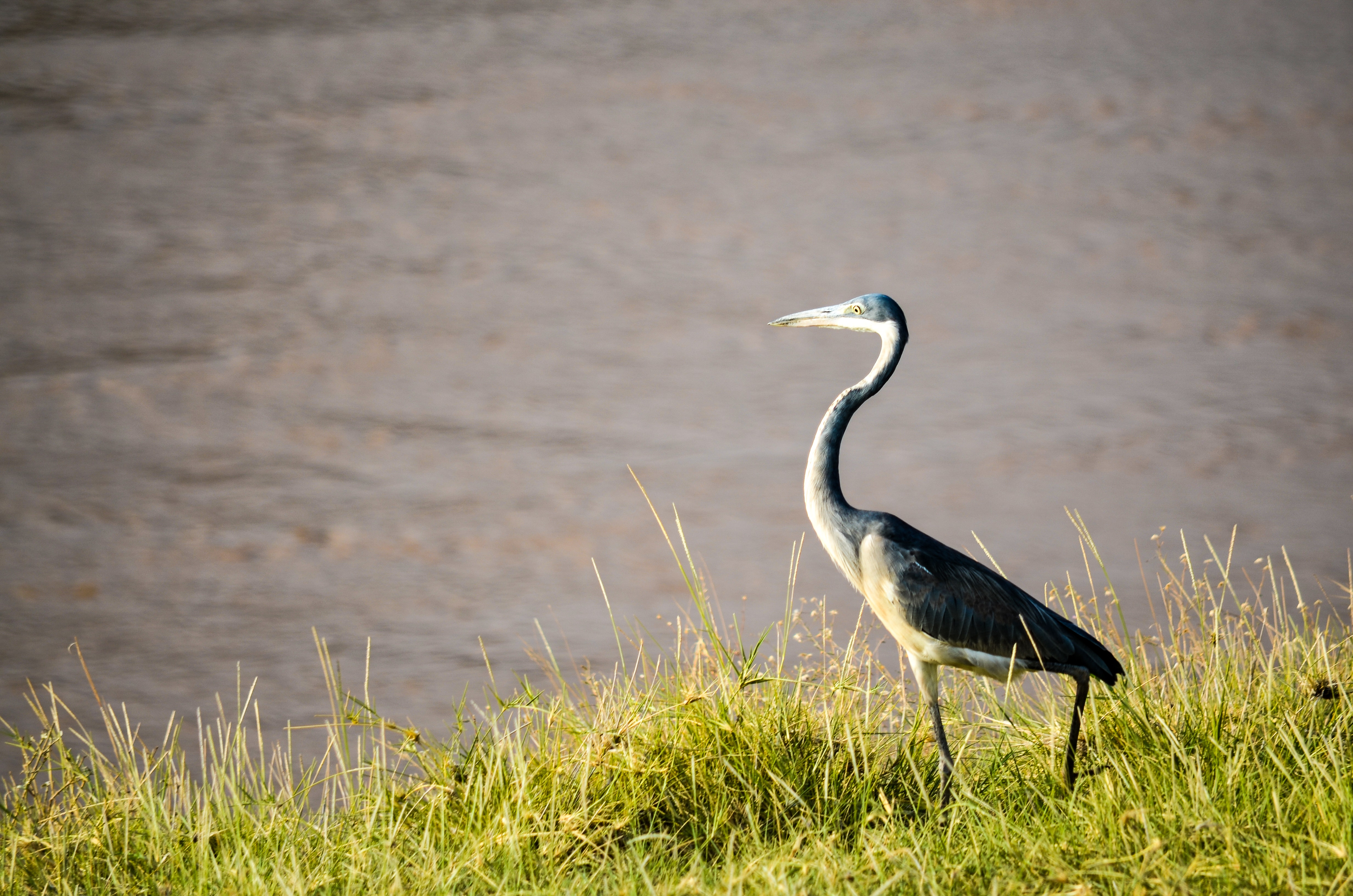 Black and white bird standing on green grass beside body of water at daytime photo