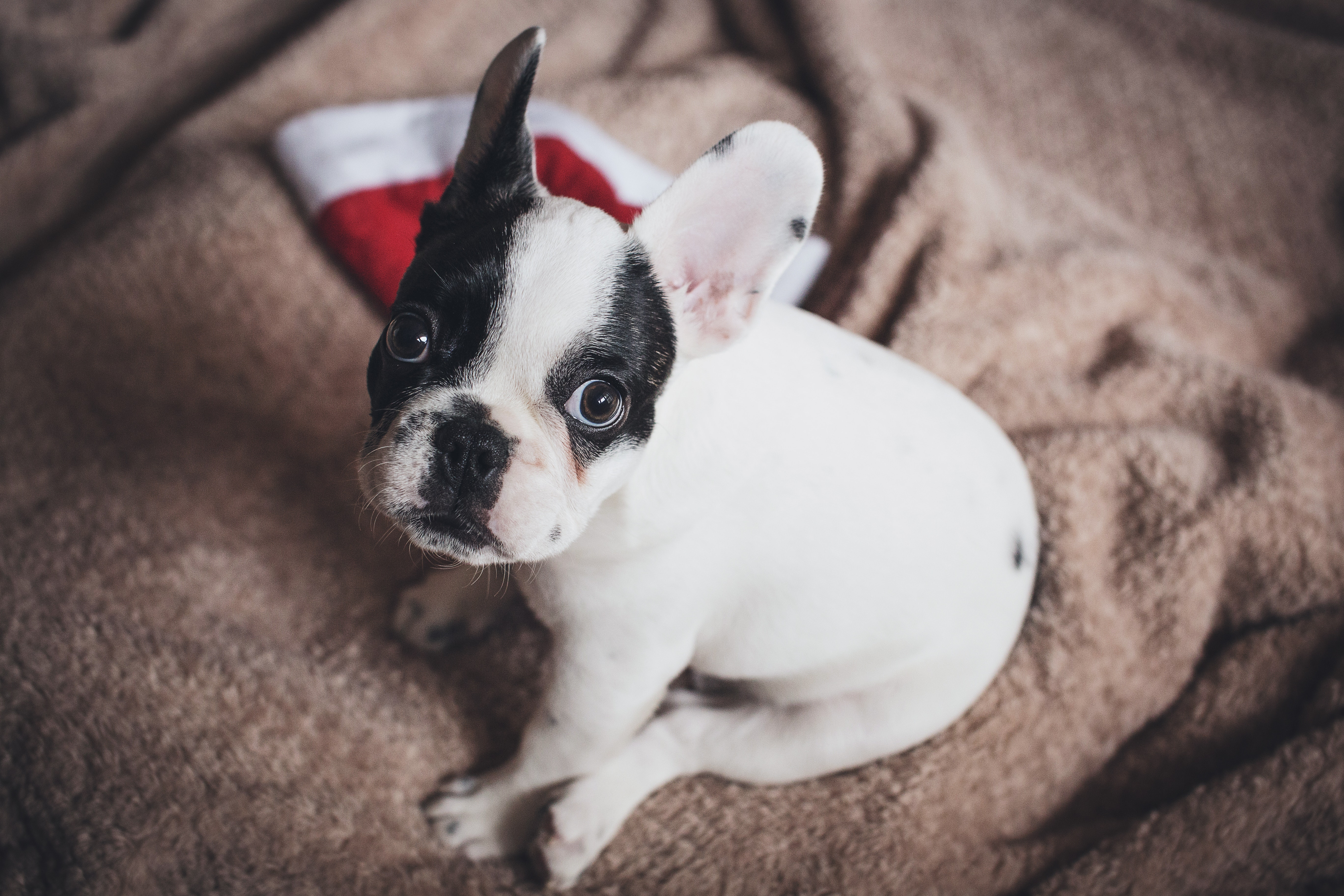 Black and White French Bulldog Puppy Stepping on Brown Wood Board ...