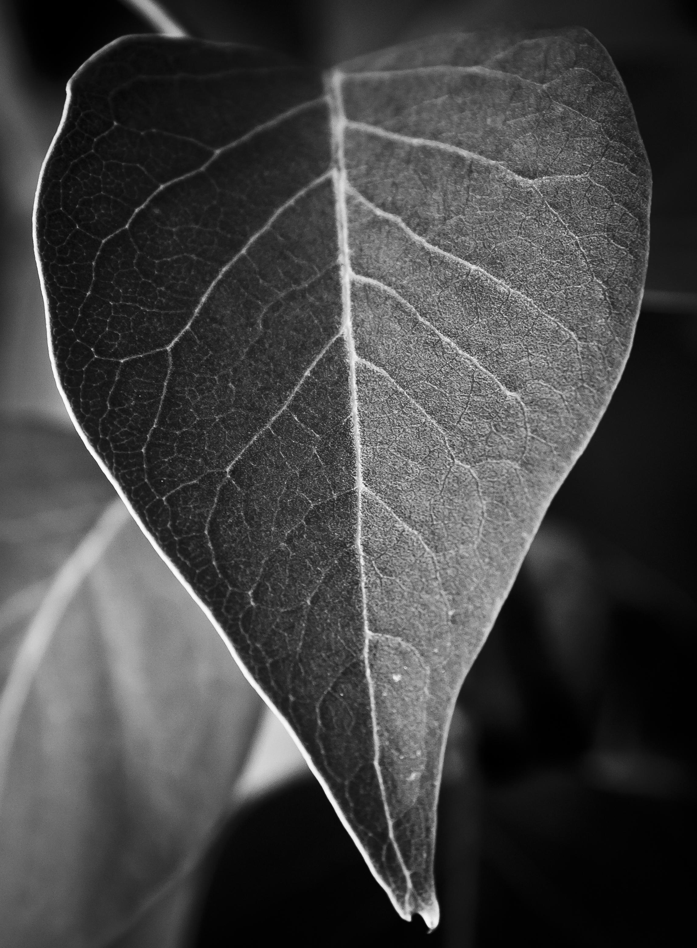 Black and white leaf photo