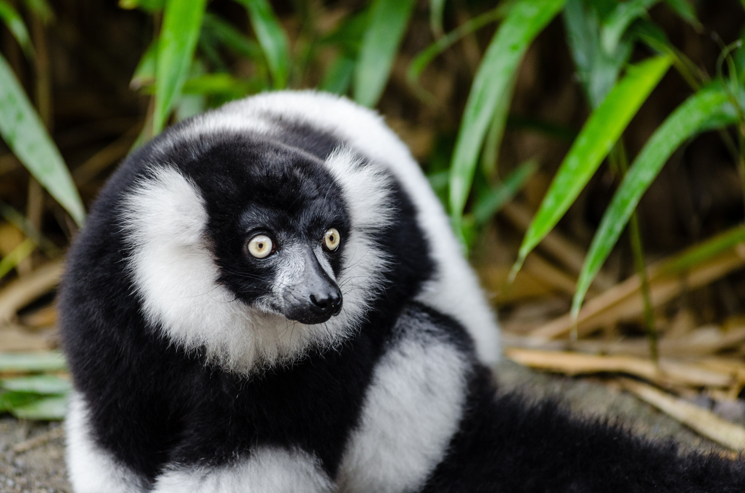 Black and white ruffed lemur photo