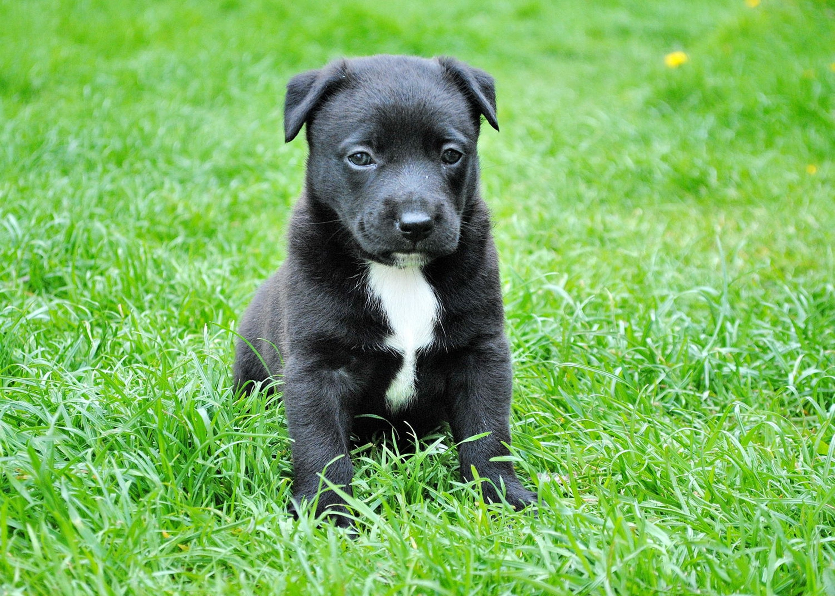 Black and White Short Coated Puppy Sitting on Green Grass, Pet, Puppy, Grass, Domestic animal, HQ Photo