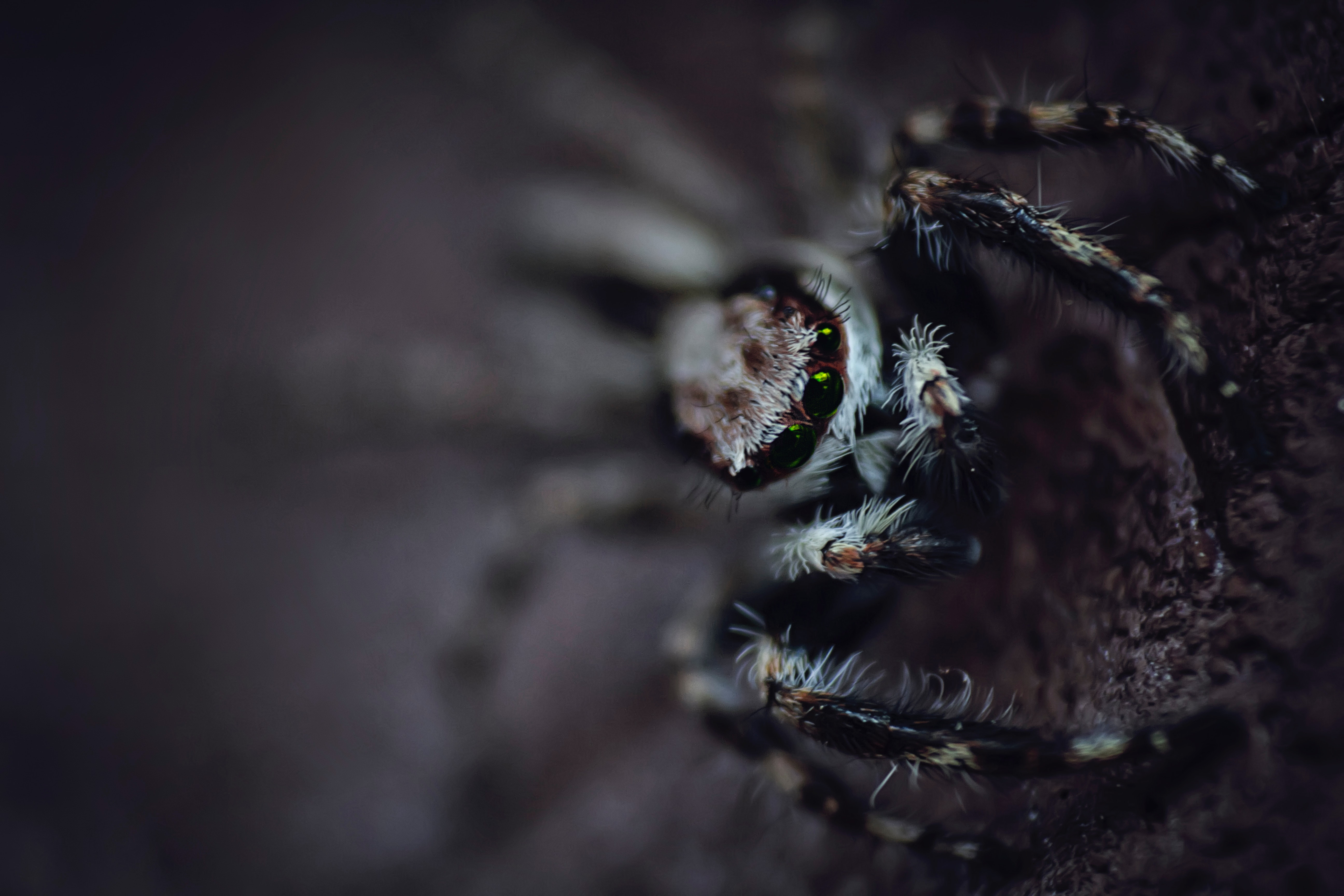 Black and white spider photo