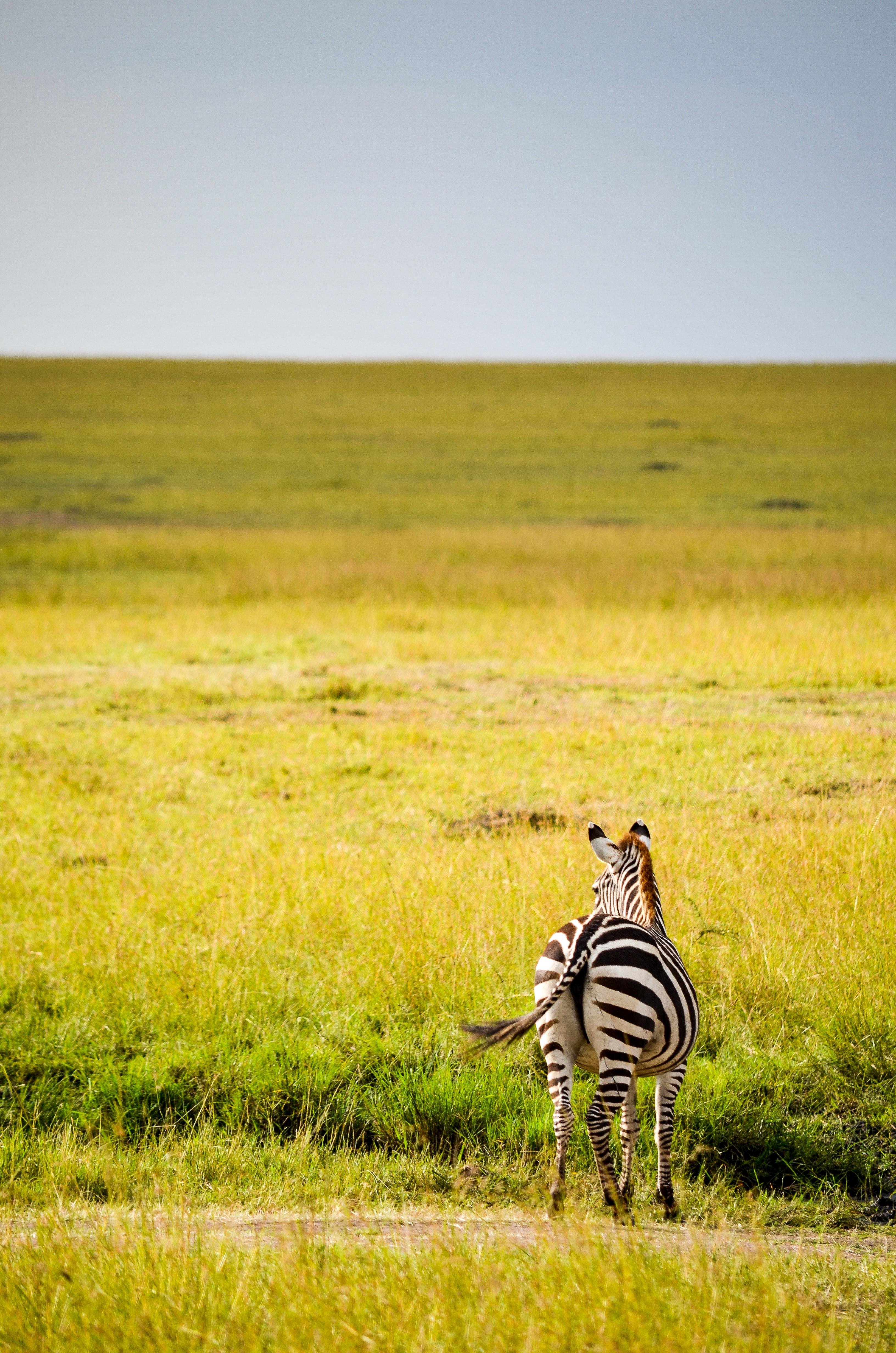 Black and white zebra on green grass photo