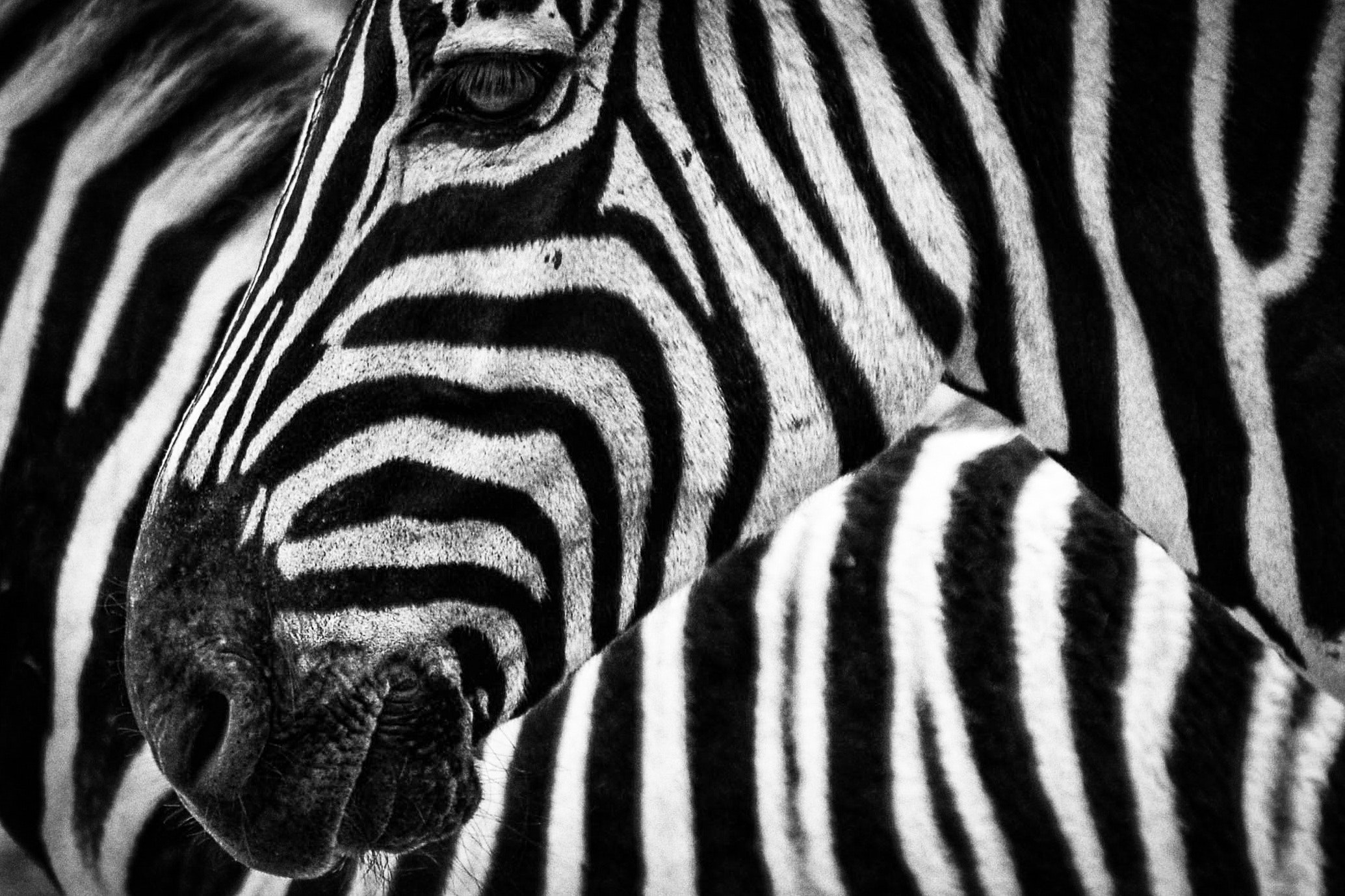 Black and white zebra photo