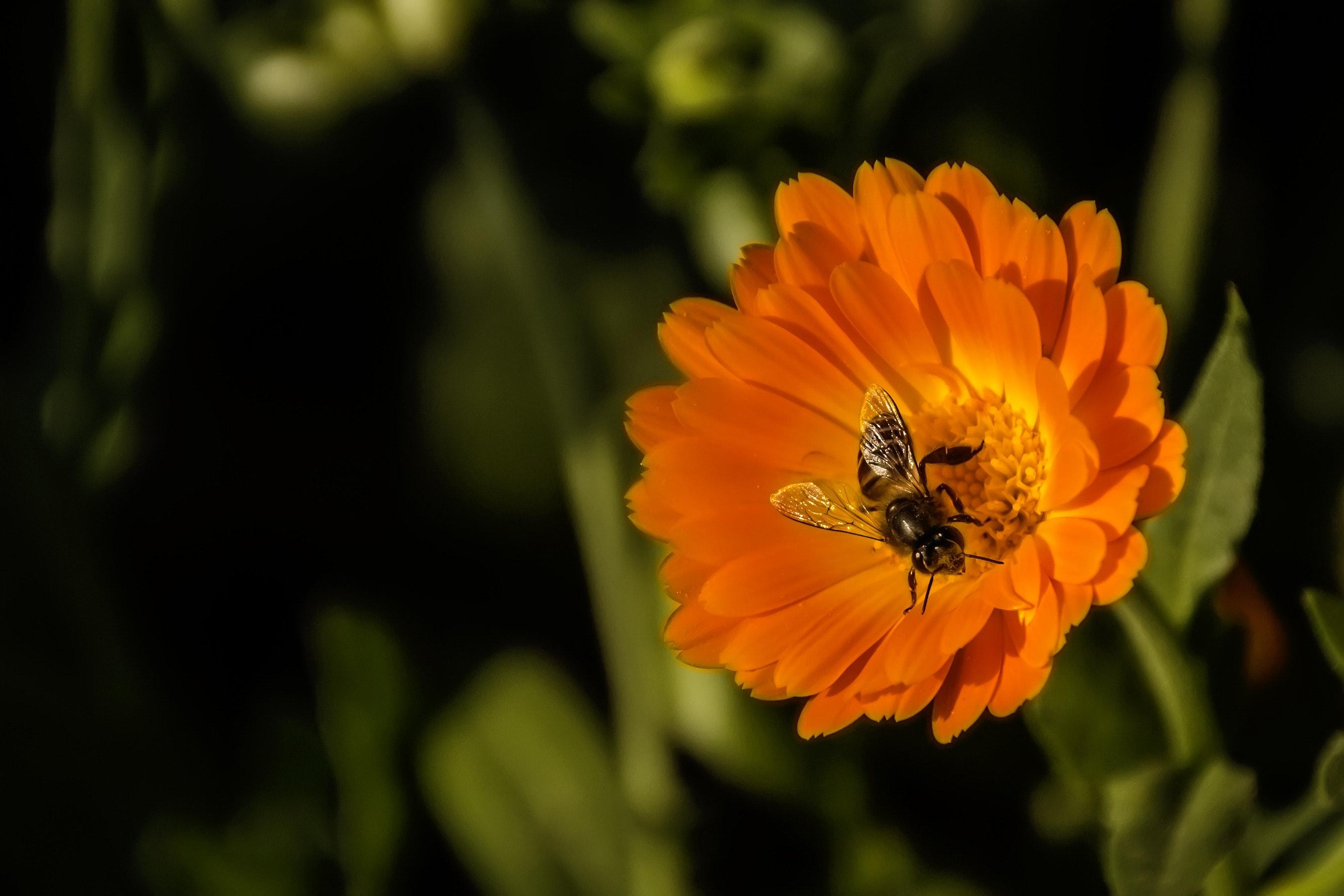 Free Photo Black And Yellow Honey Bee Perch Orange Petaled Flower