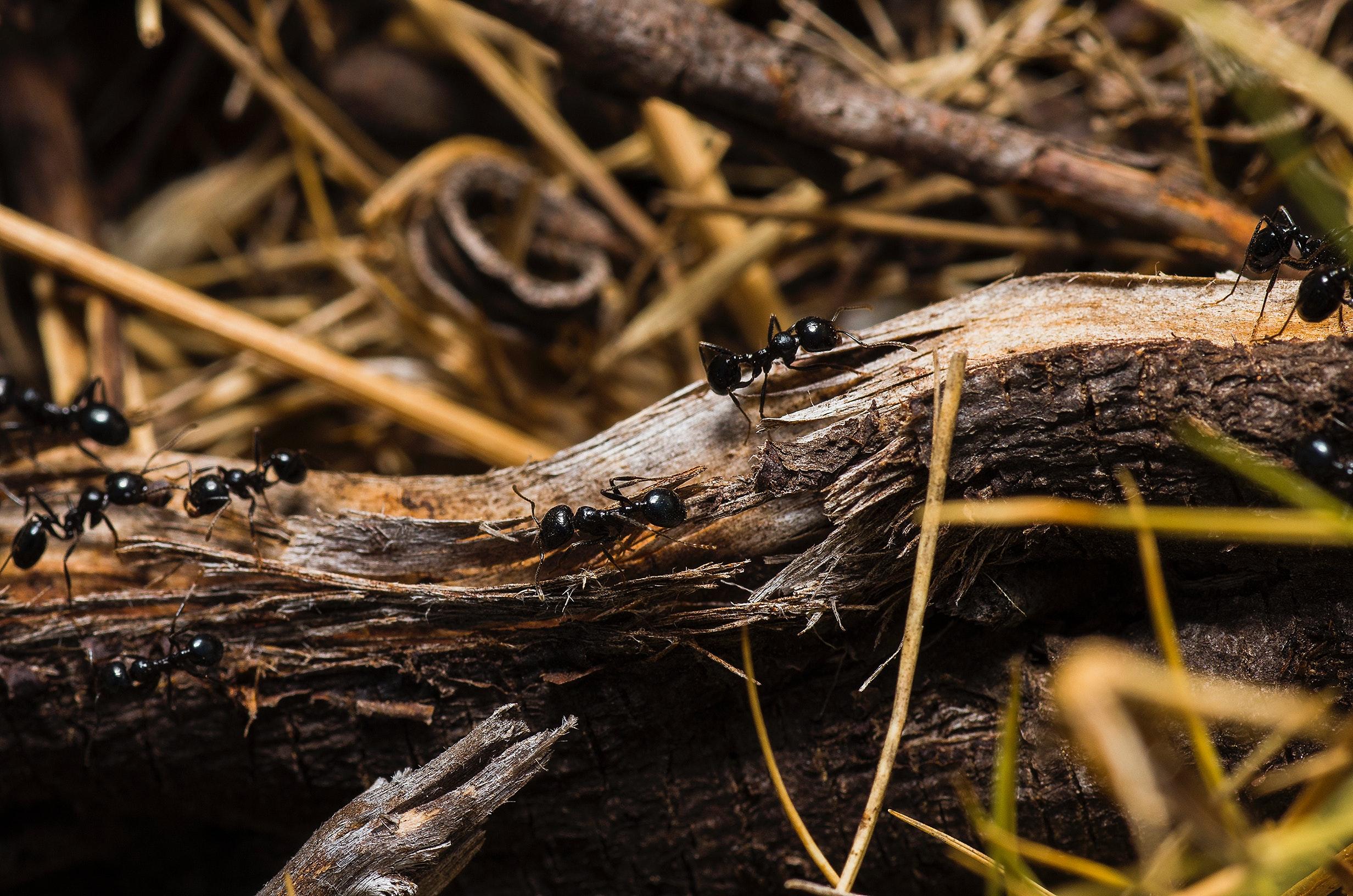 Black ants on brown tree trunks photo