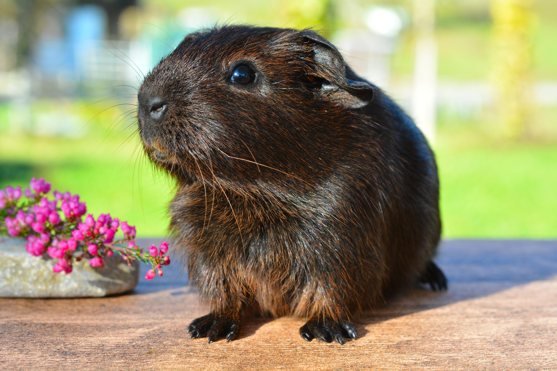 Black brown guinea pig photo