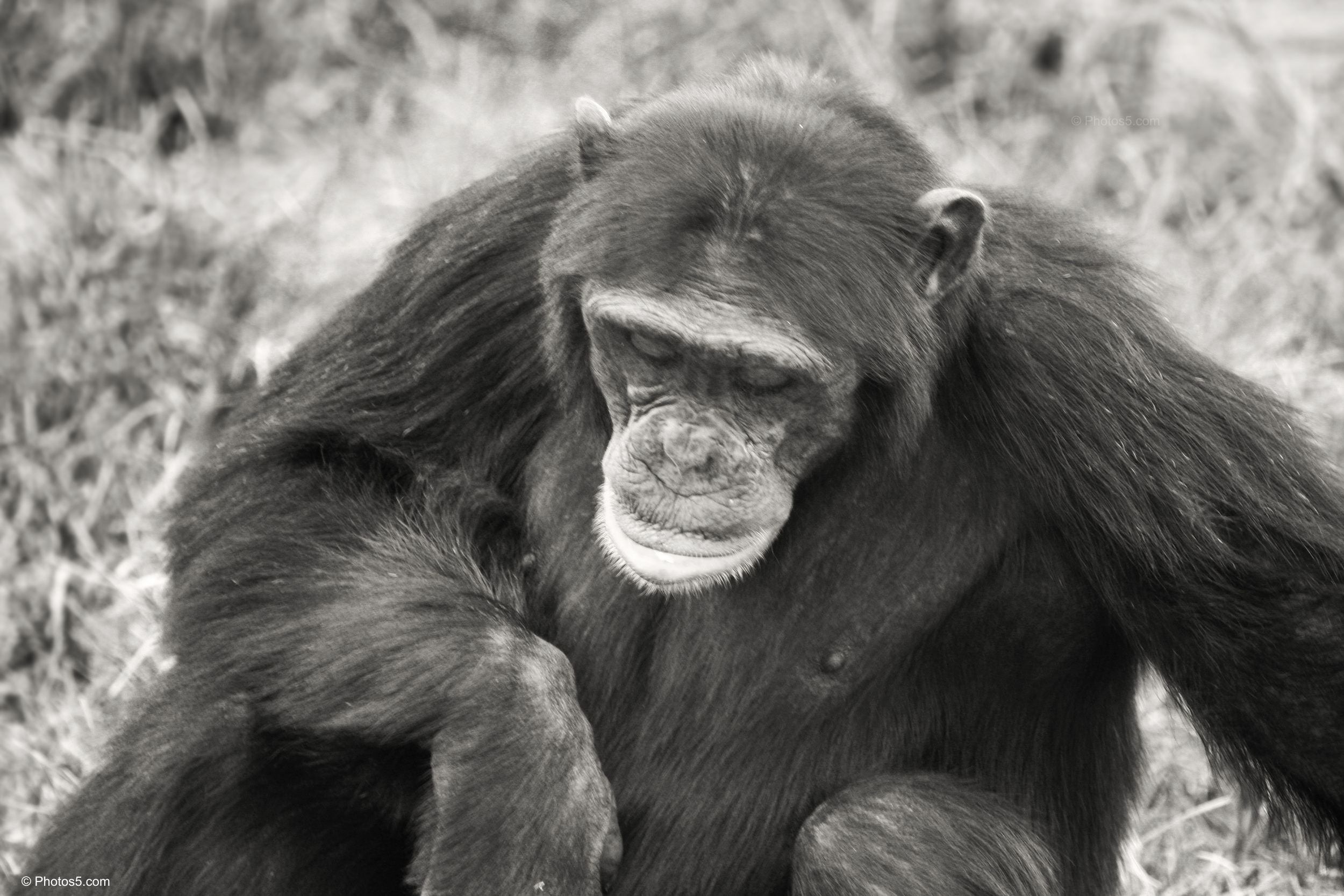 Chimpanzee with Head Down in Black and White – Photos5.com
