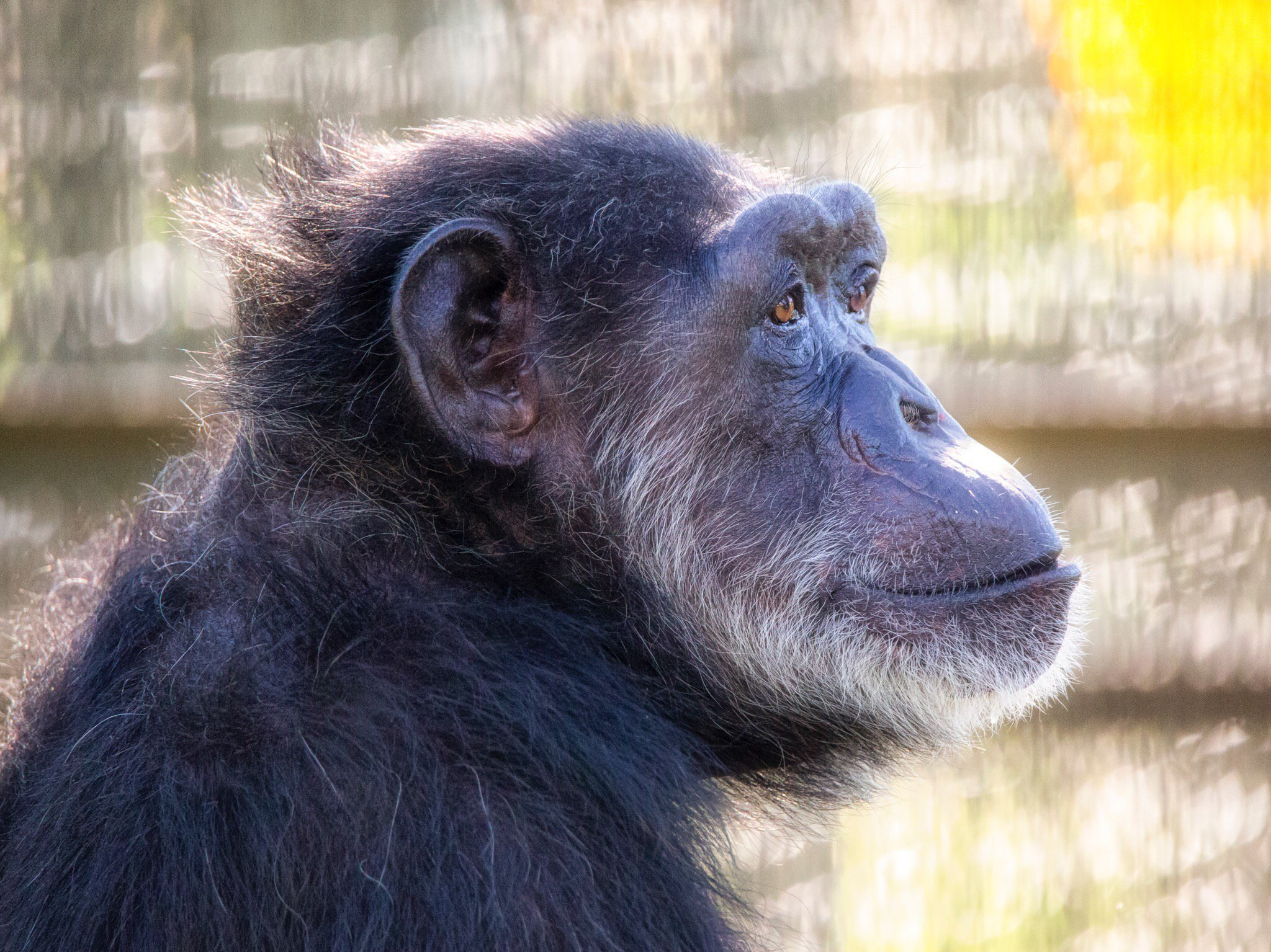 Former Lab Chimpanzee Overcomes Difficult Diabetes Treatments With ...