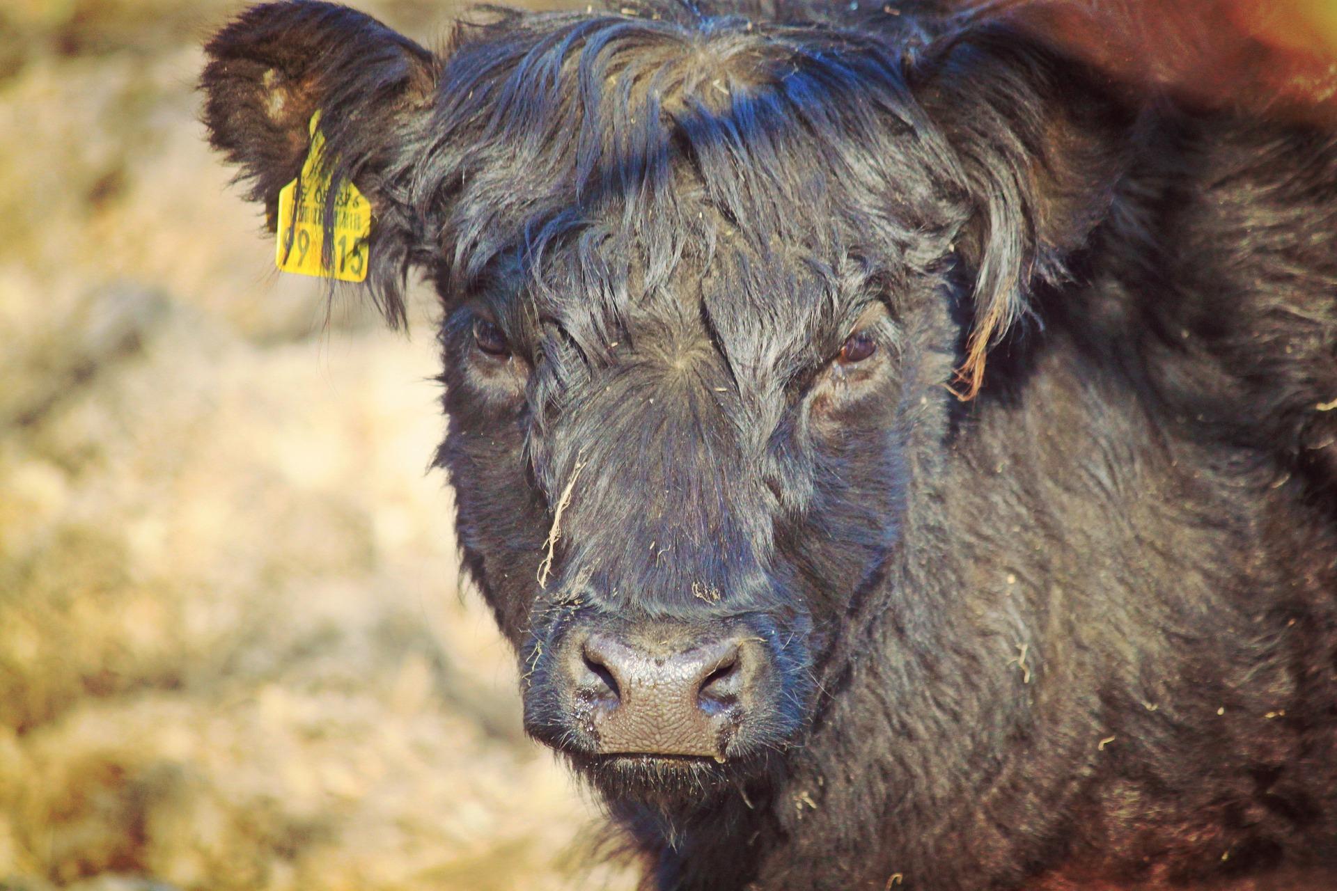 Black  Cow Staring, Farm, Cow, Black, Animal, HQ Photo