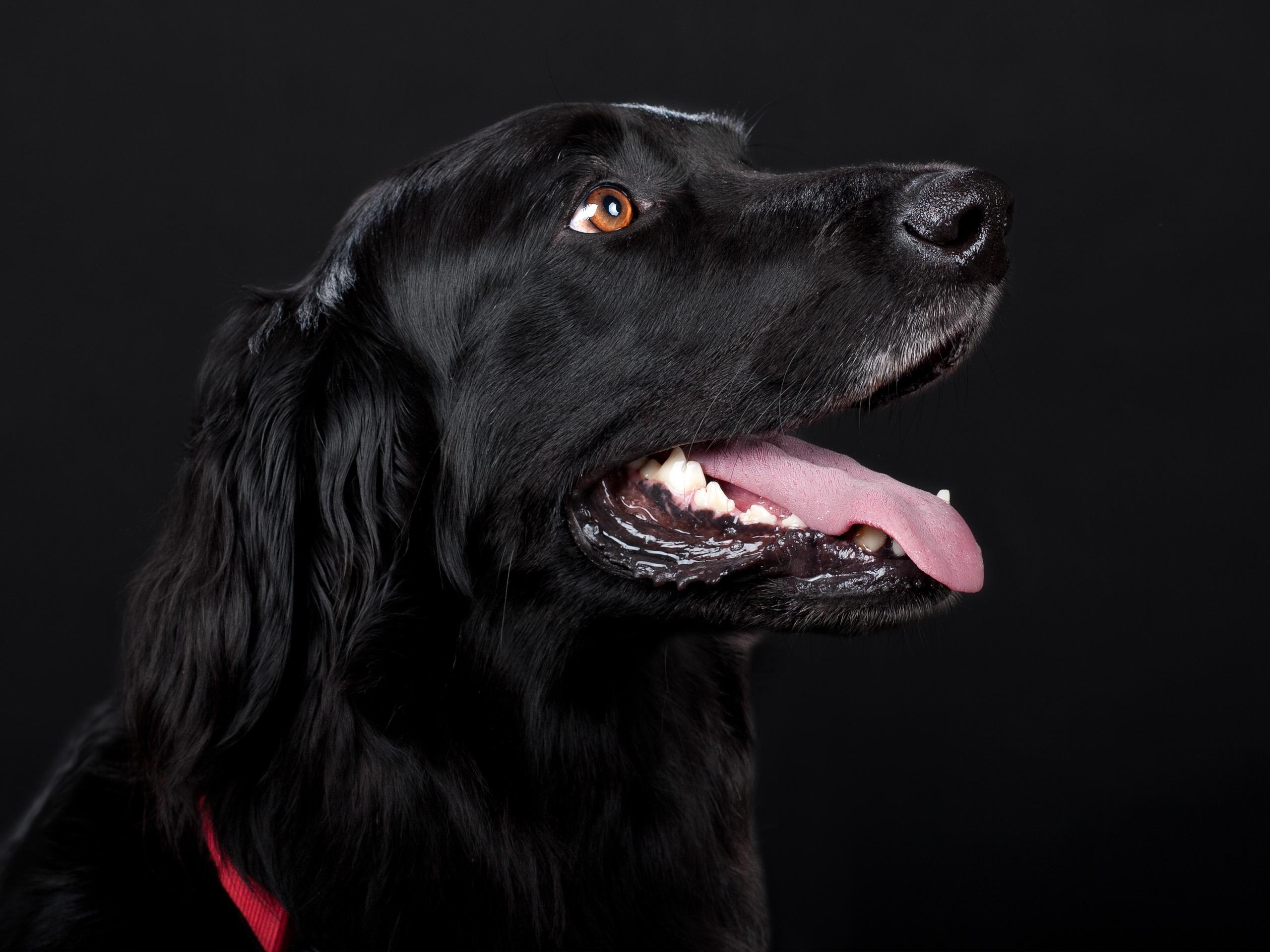 Black Dog, Loyal, Pet, Friend, Free dog photos, HQ Photo