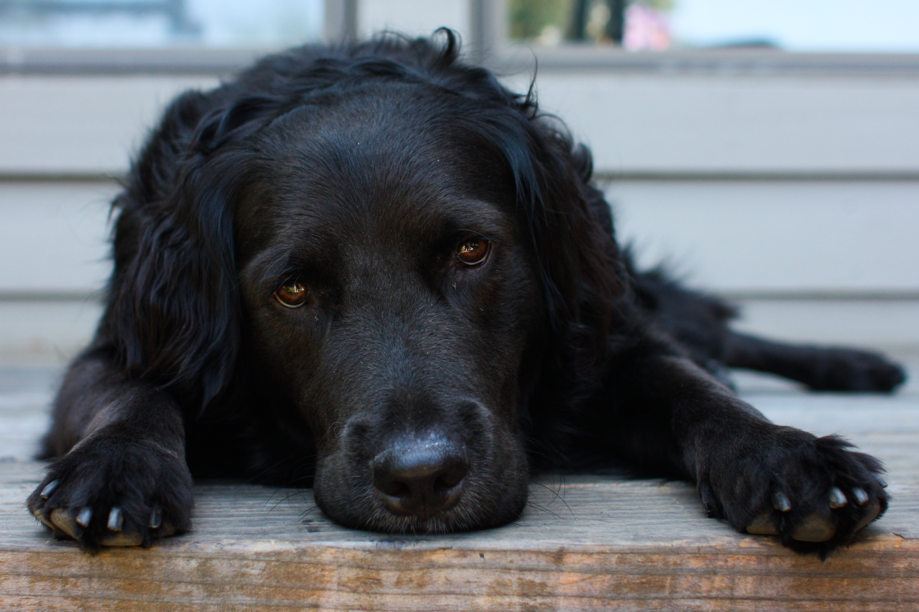File:Reclining black dog.jpg - Wikimedia Commons