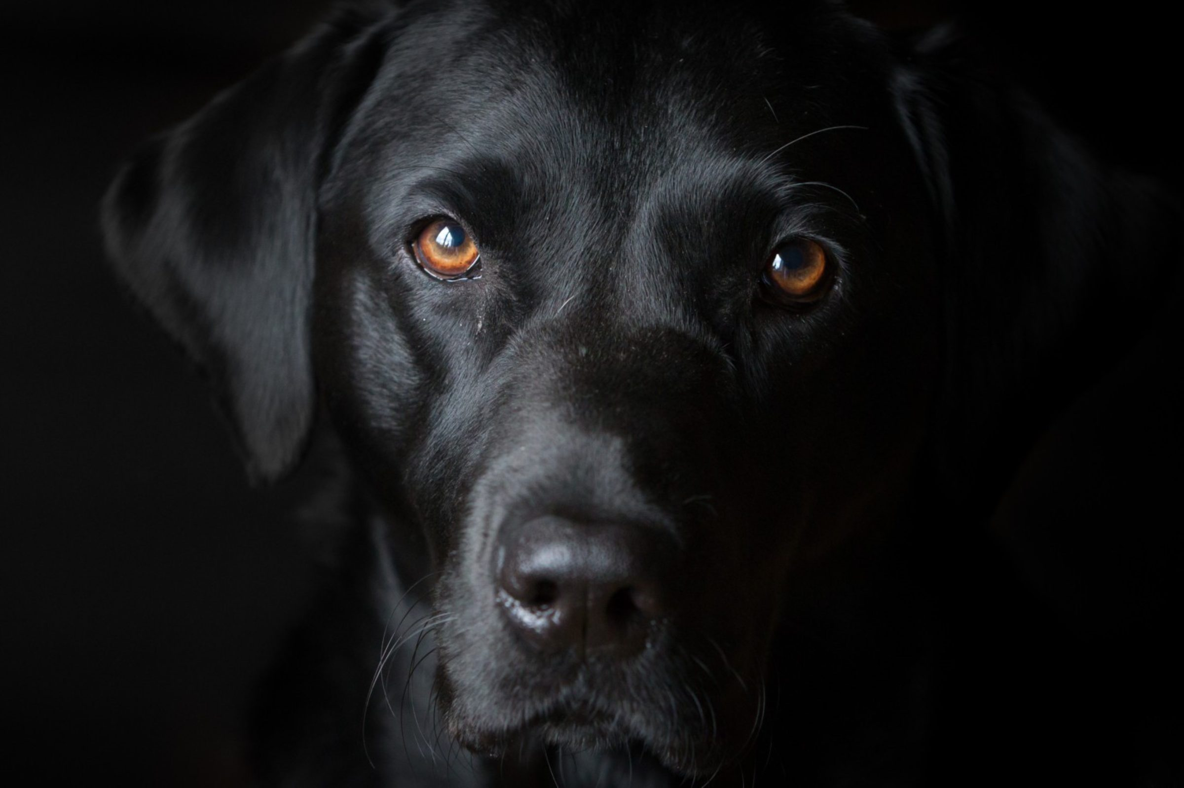 Black dog photo