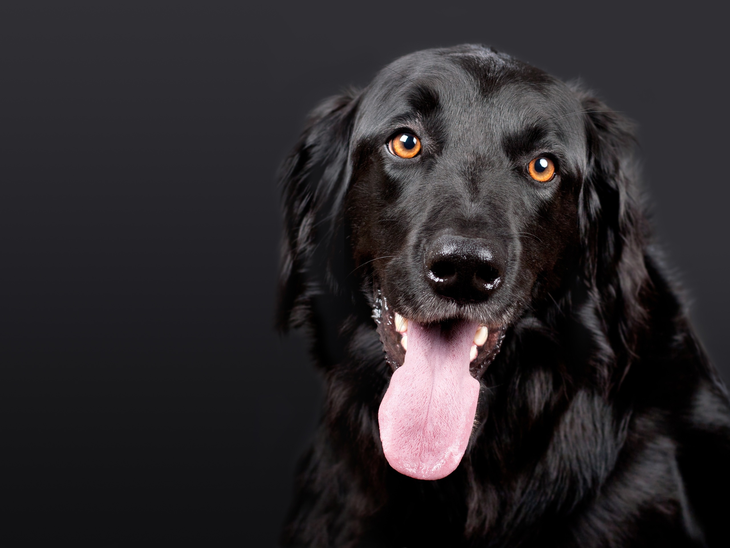 Black Dog Lab Retriever Free Stock Photo - NegativeSpace