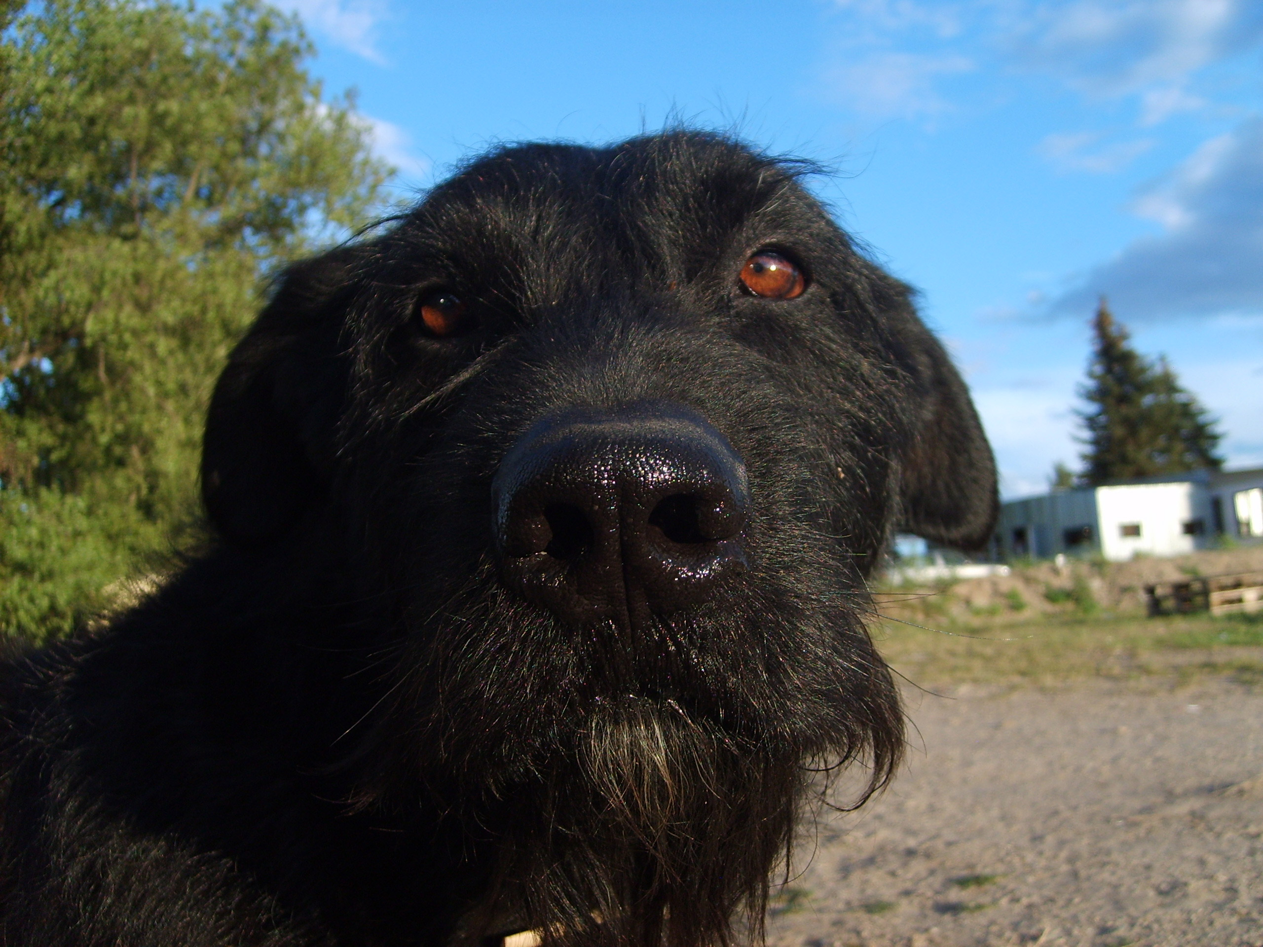 Free Image: Black dog's face | Libreshot Public Domain Photos