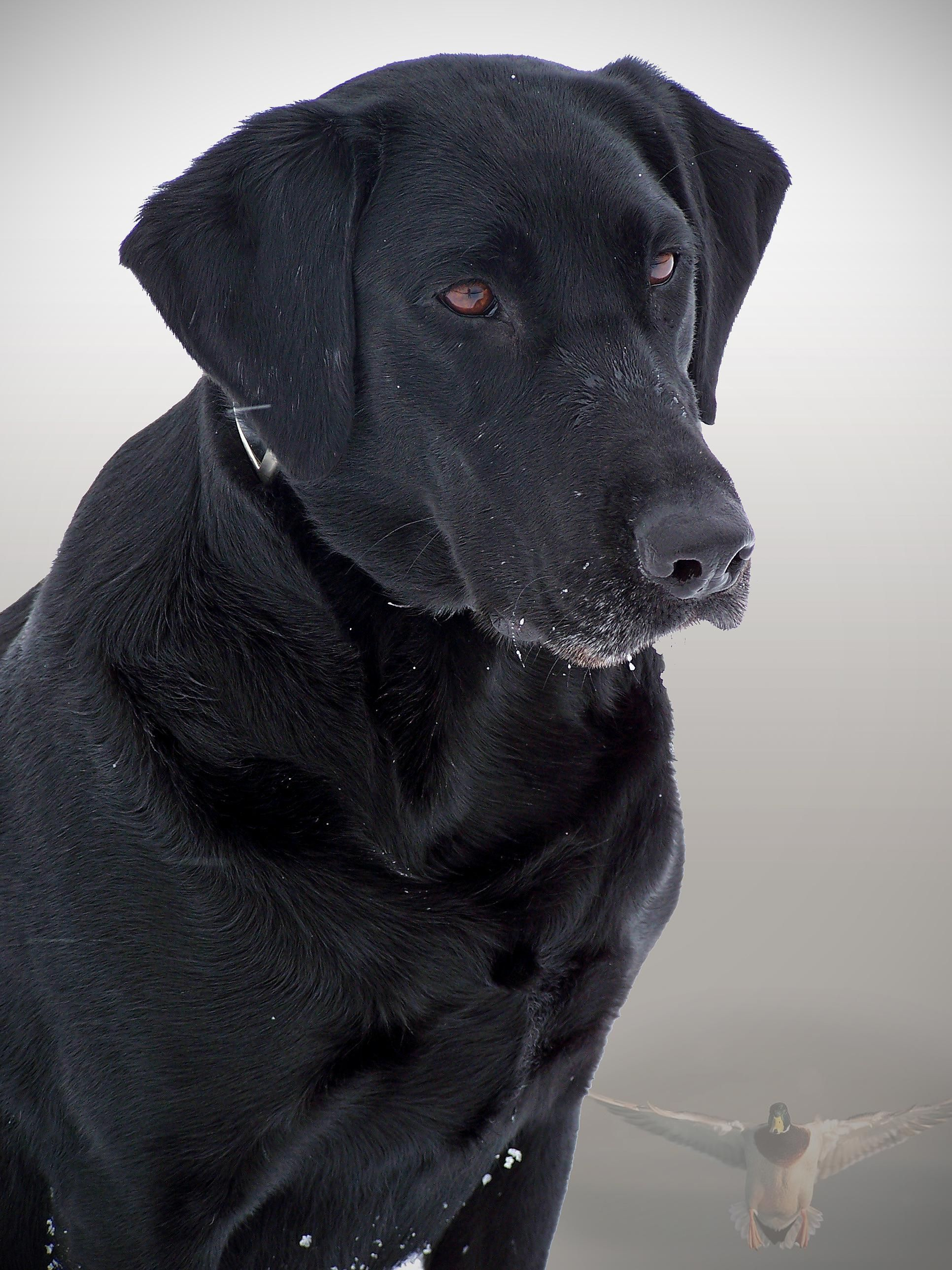 File:Black dog.jpg - Wikimedia Commons