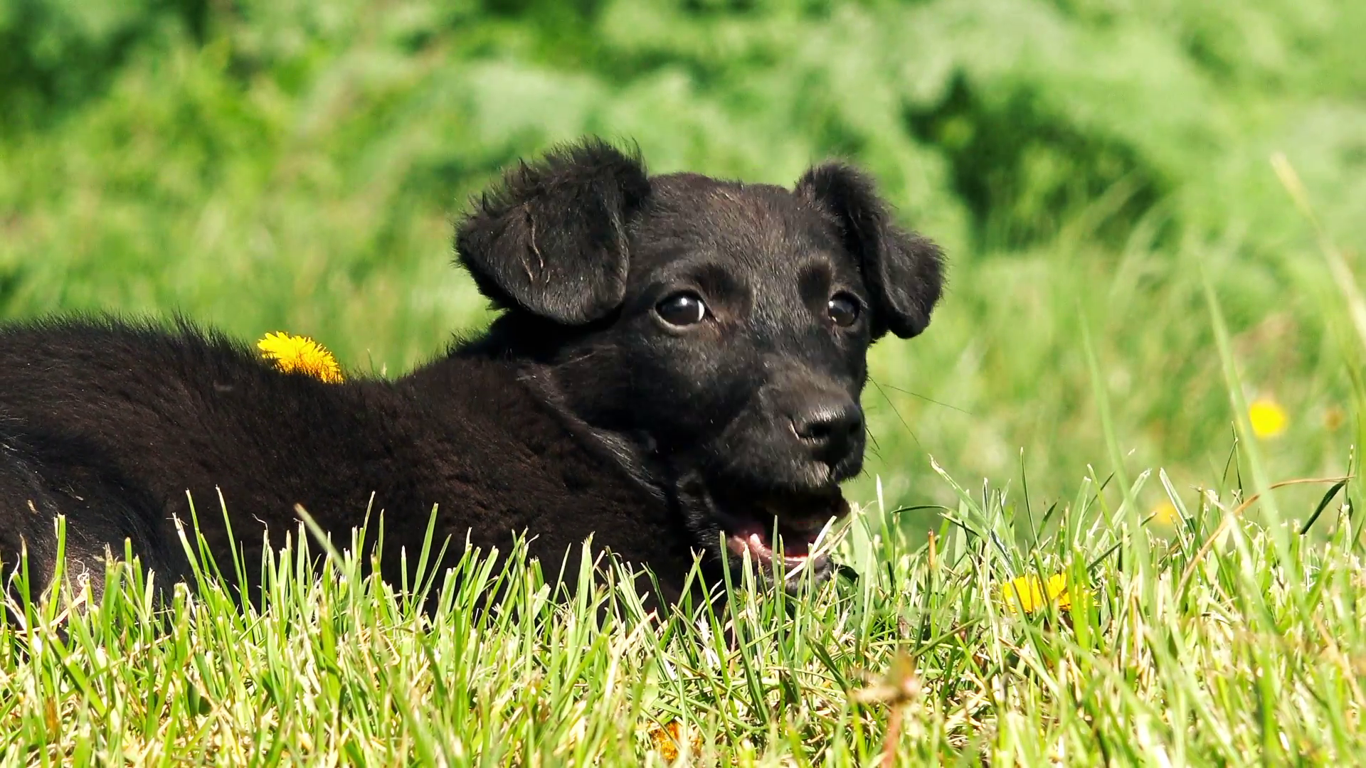 Cute little mix breed black dog chewing bone on sunny morning Stock ...