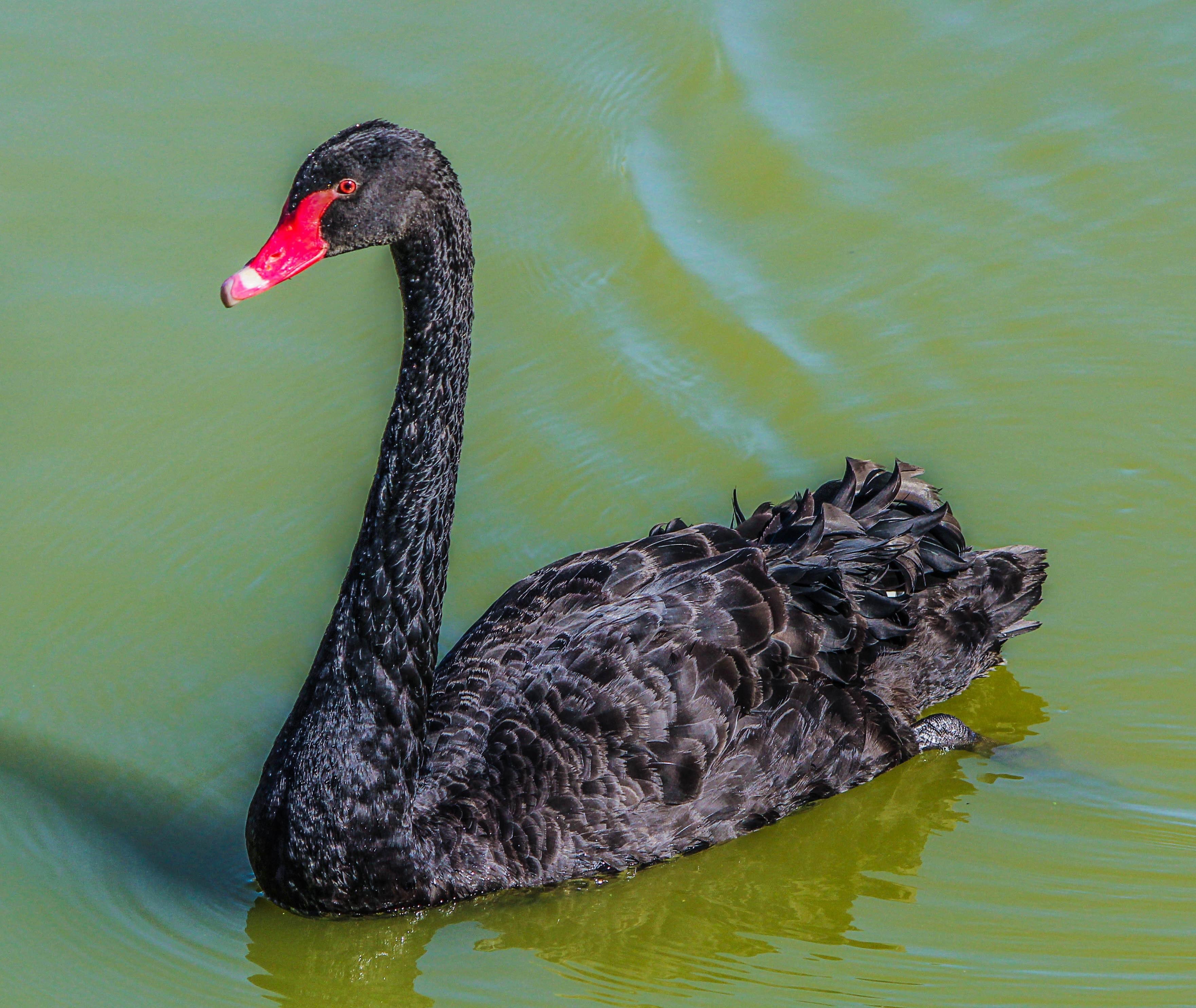 Black featheres red beak bird swim on the surface of water photo