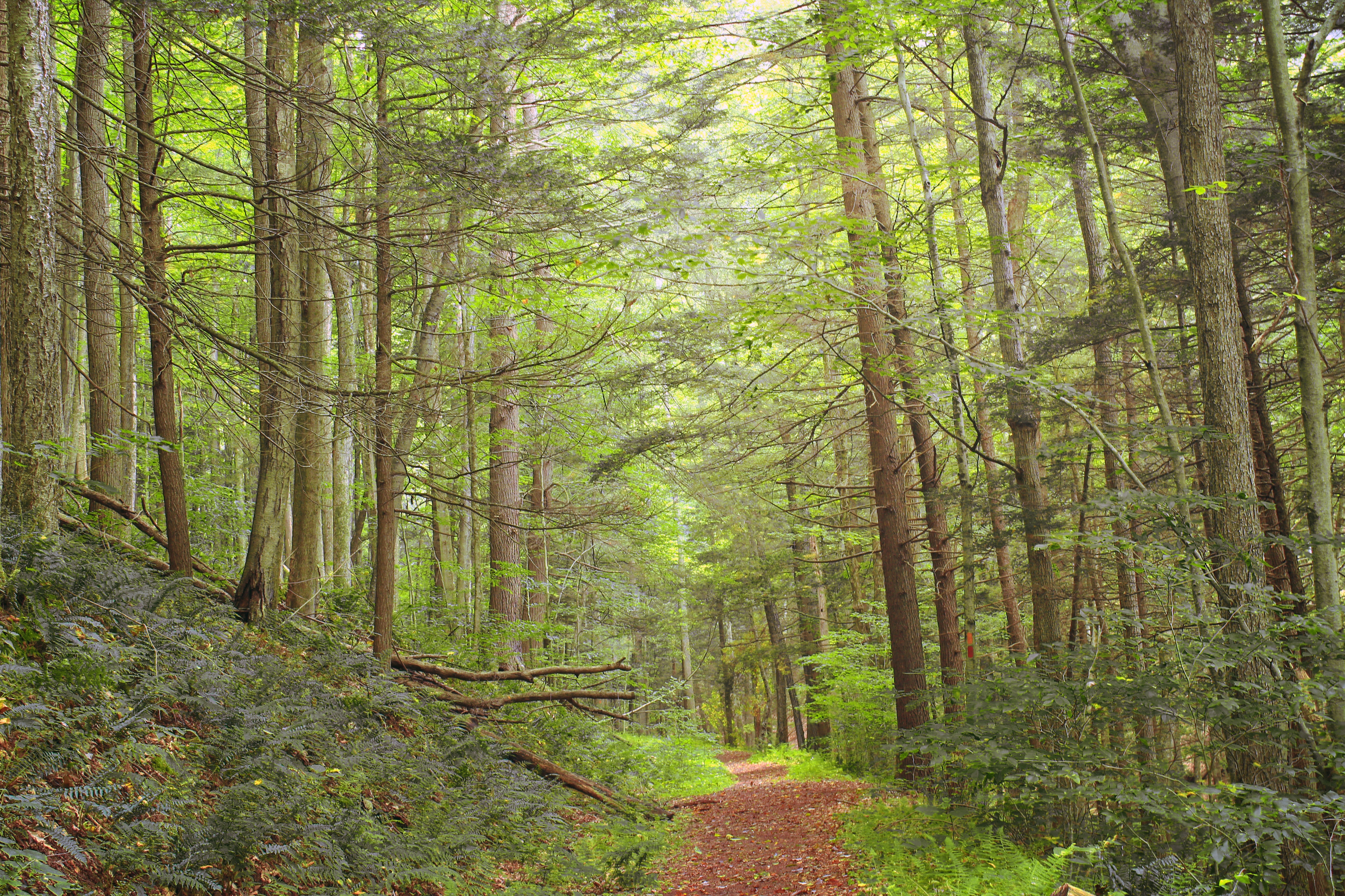 Black Forest Trail (Revisited) (17), CC0, Pennsylvania Wilds, Tsuga canadensis, Trees, HQ Photo