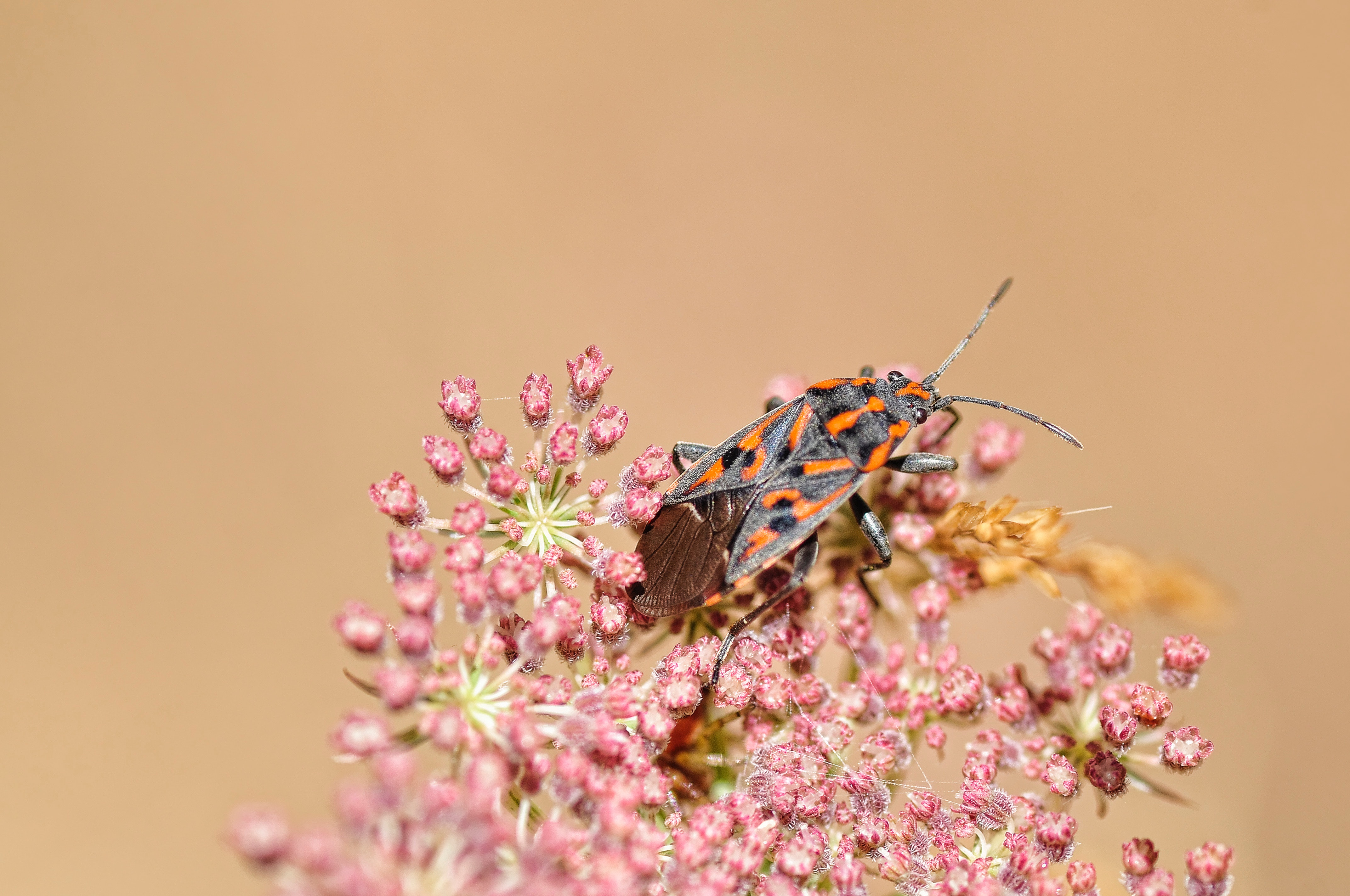 Black Gray and Orange Reduviidae, Beetle, Bloom, Blossom, Bug, HQ Photo