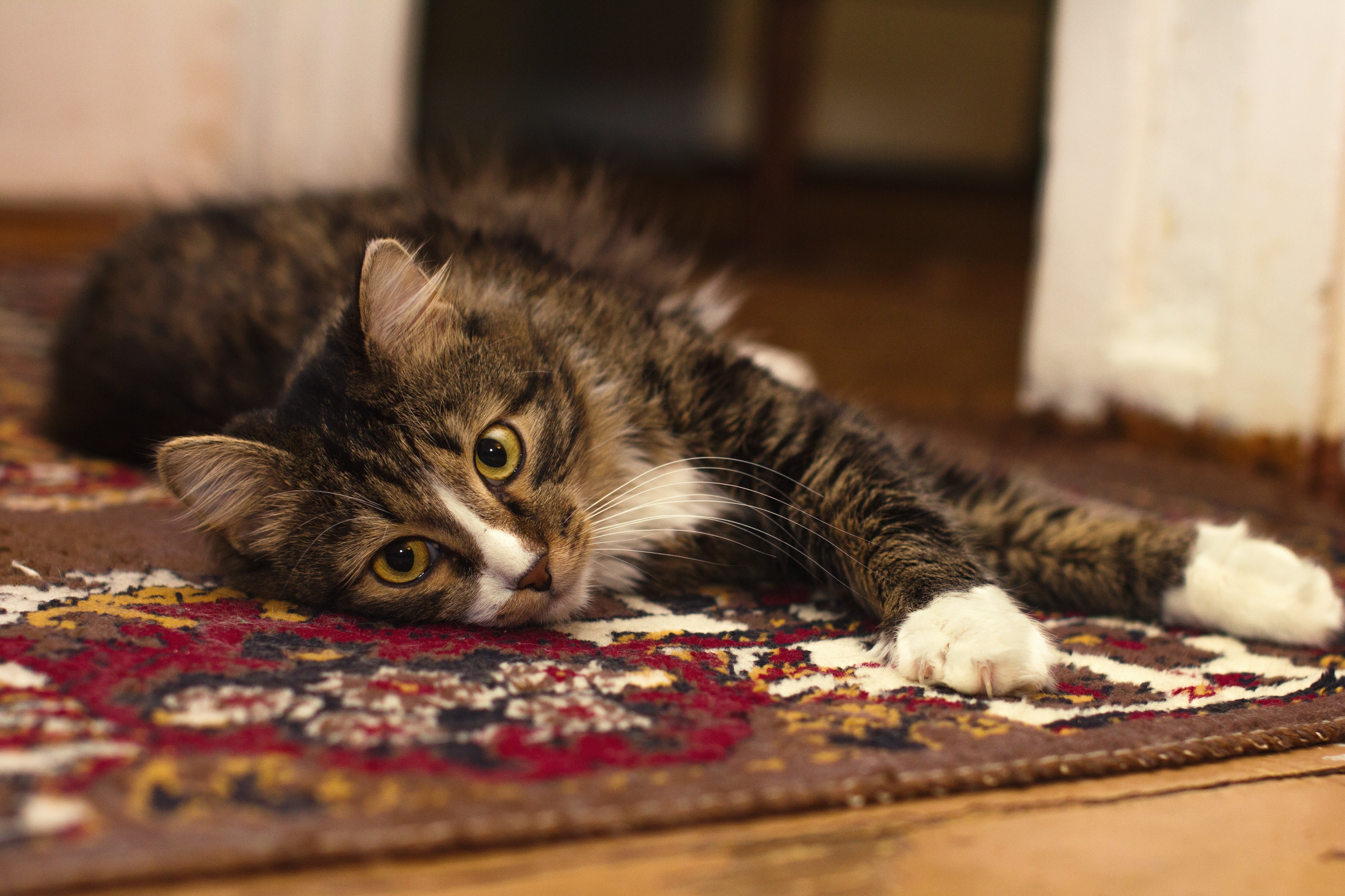 brown and white rug. Black Gray And White Tabby Cat Resting In Brown Red Rug, Feline Rug