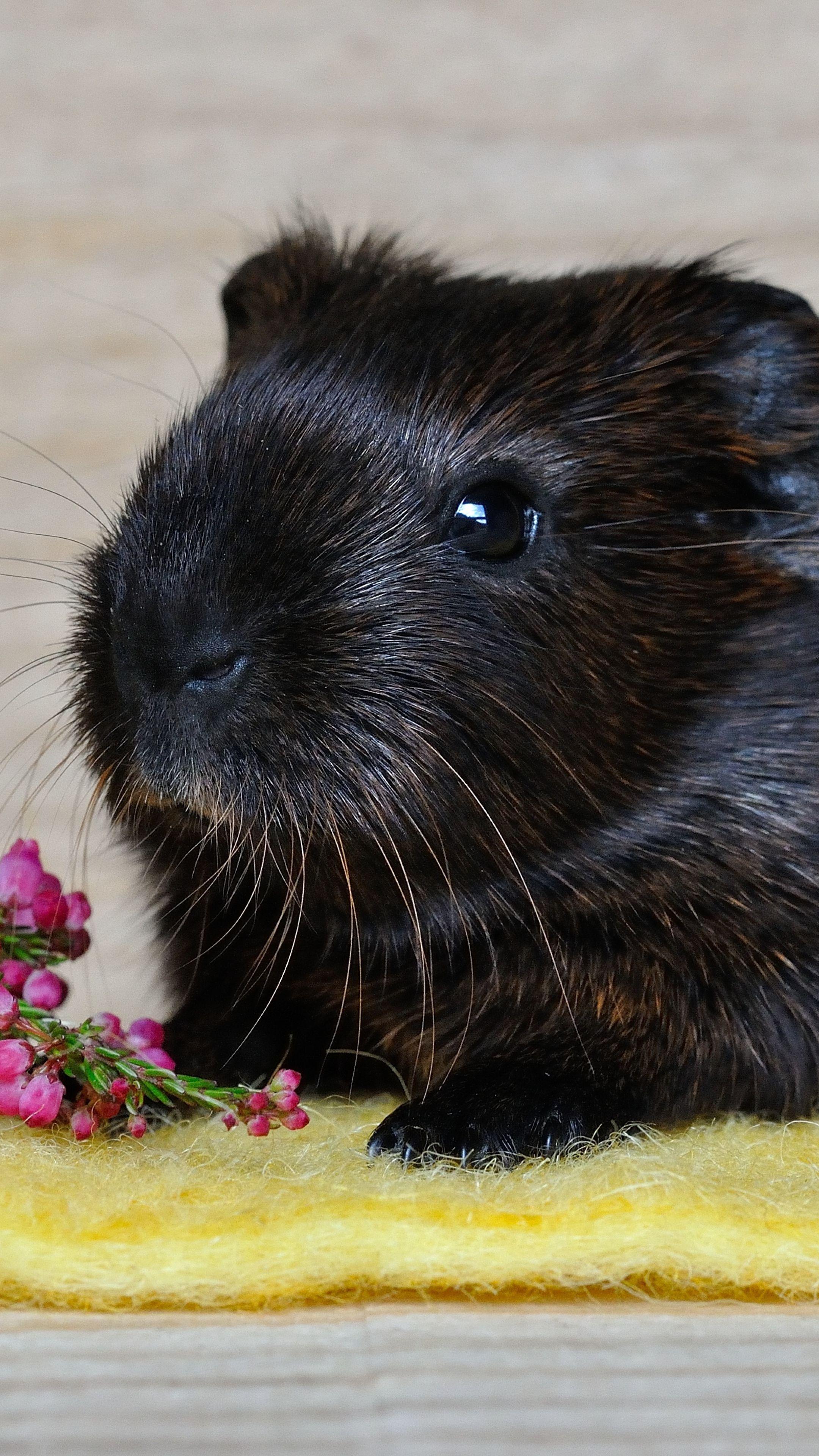 Black guinea photo