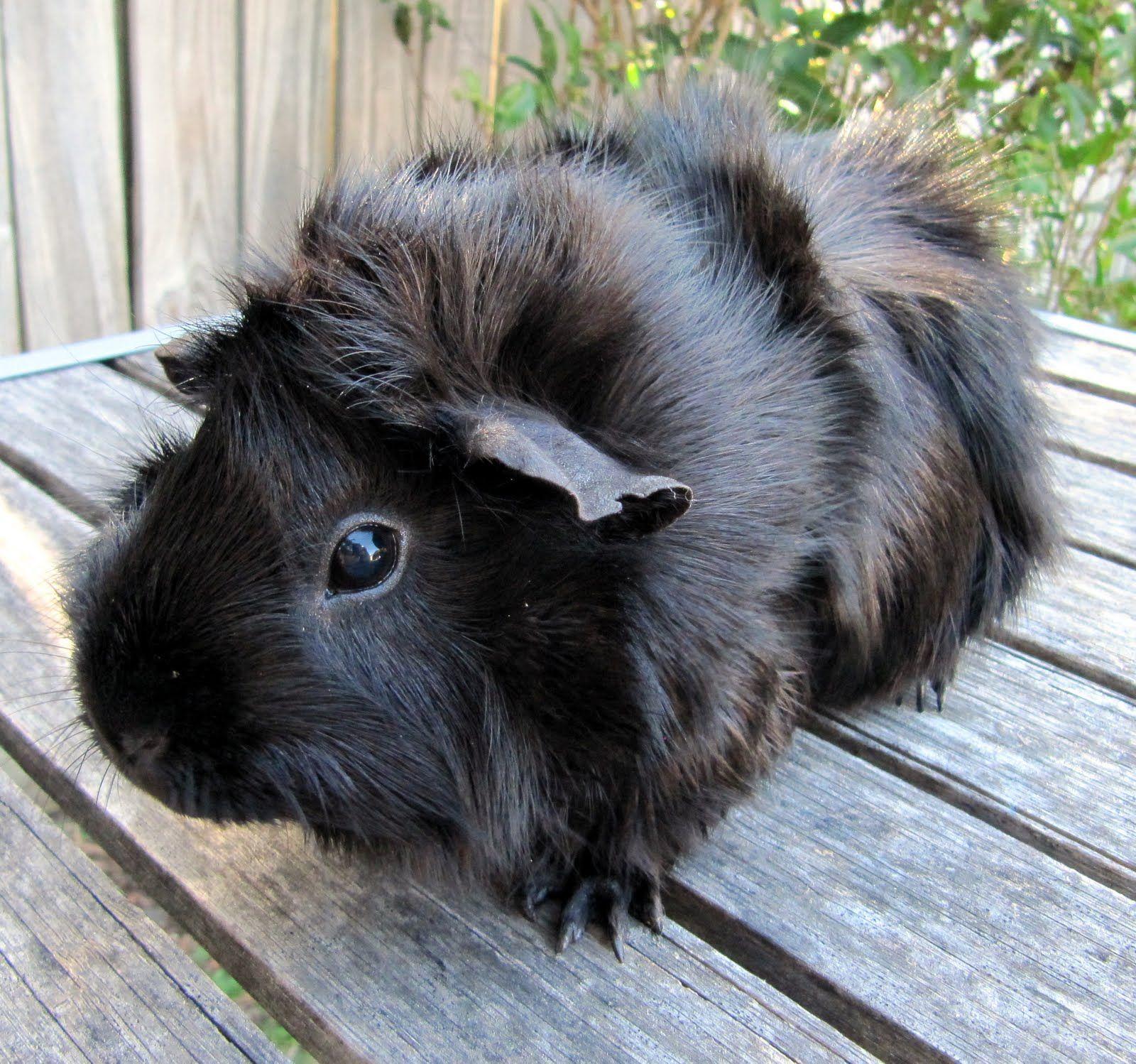 Black guinea pig photo