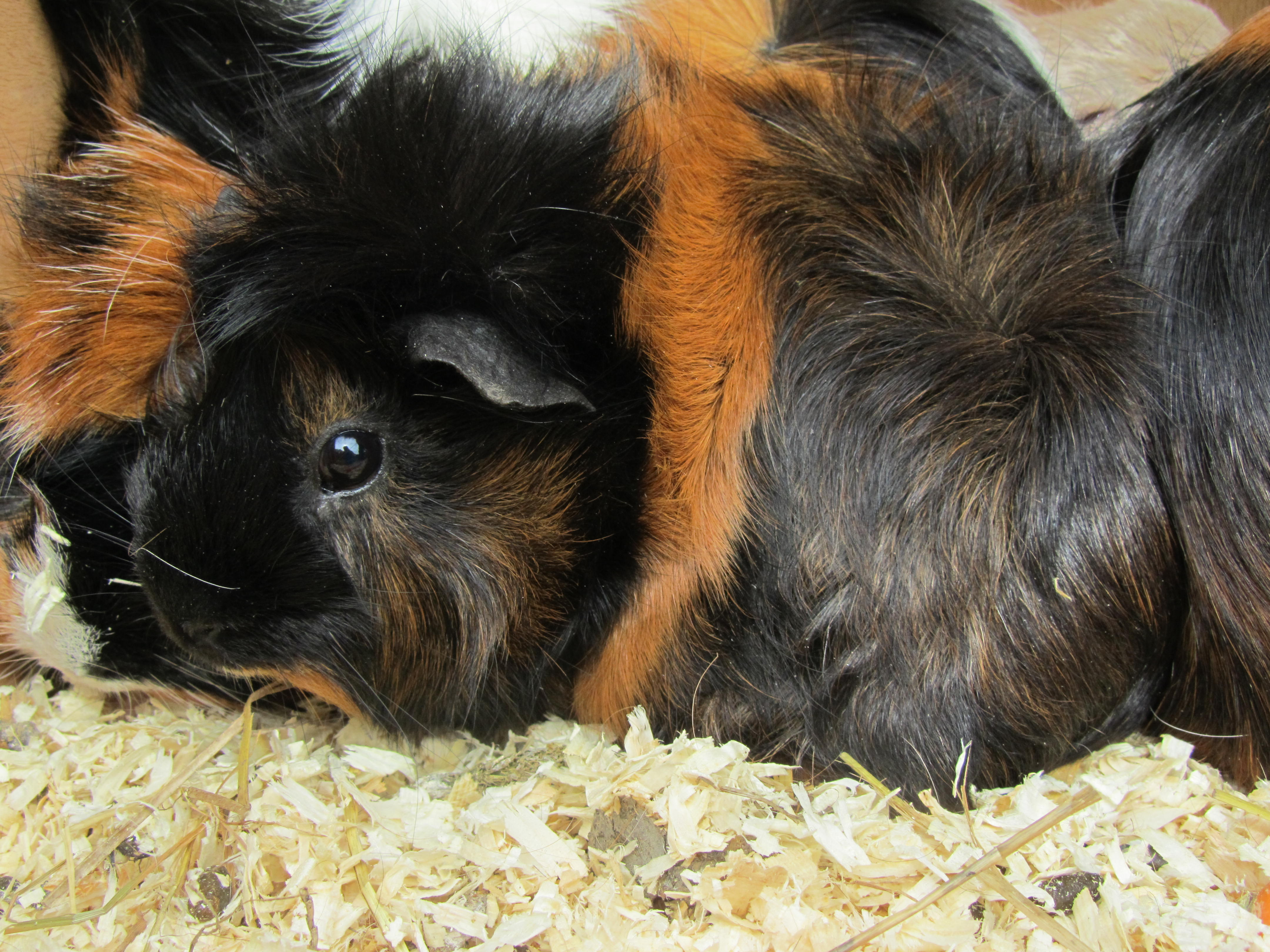 The Importance of a Guinea Pig   The Ufton Court Blog