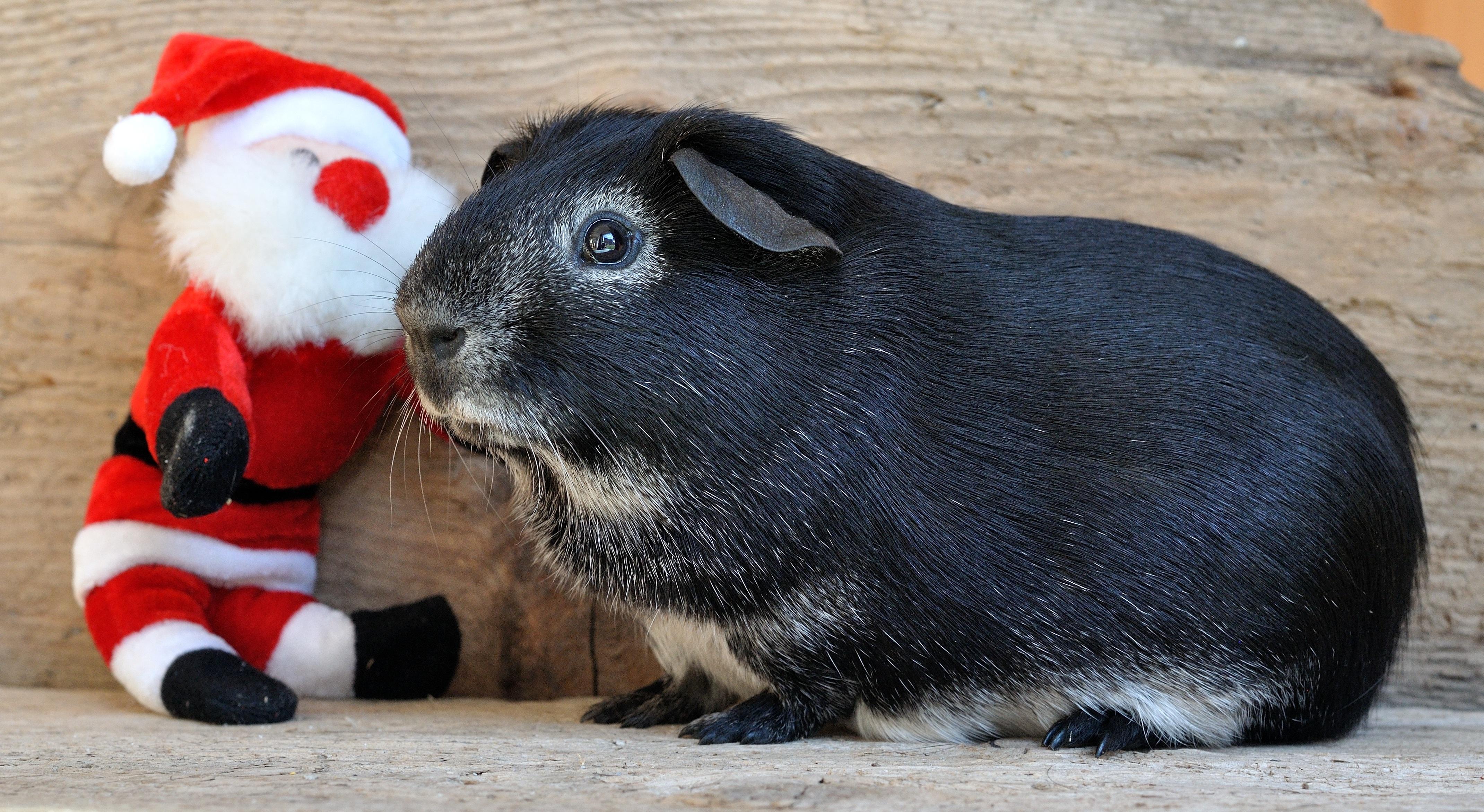 Black Guinea, Adorable, Animal, Cute, Friend, HQ Photo