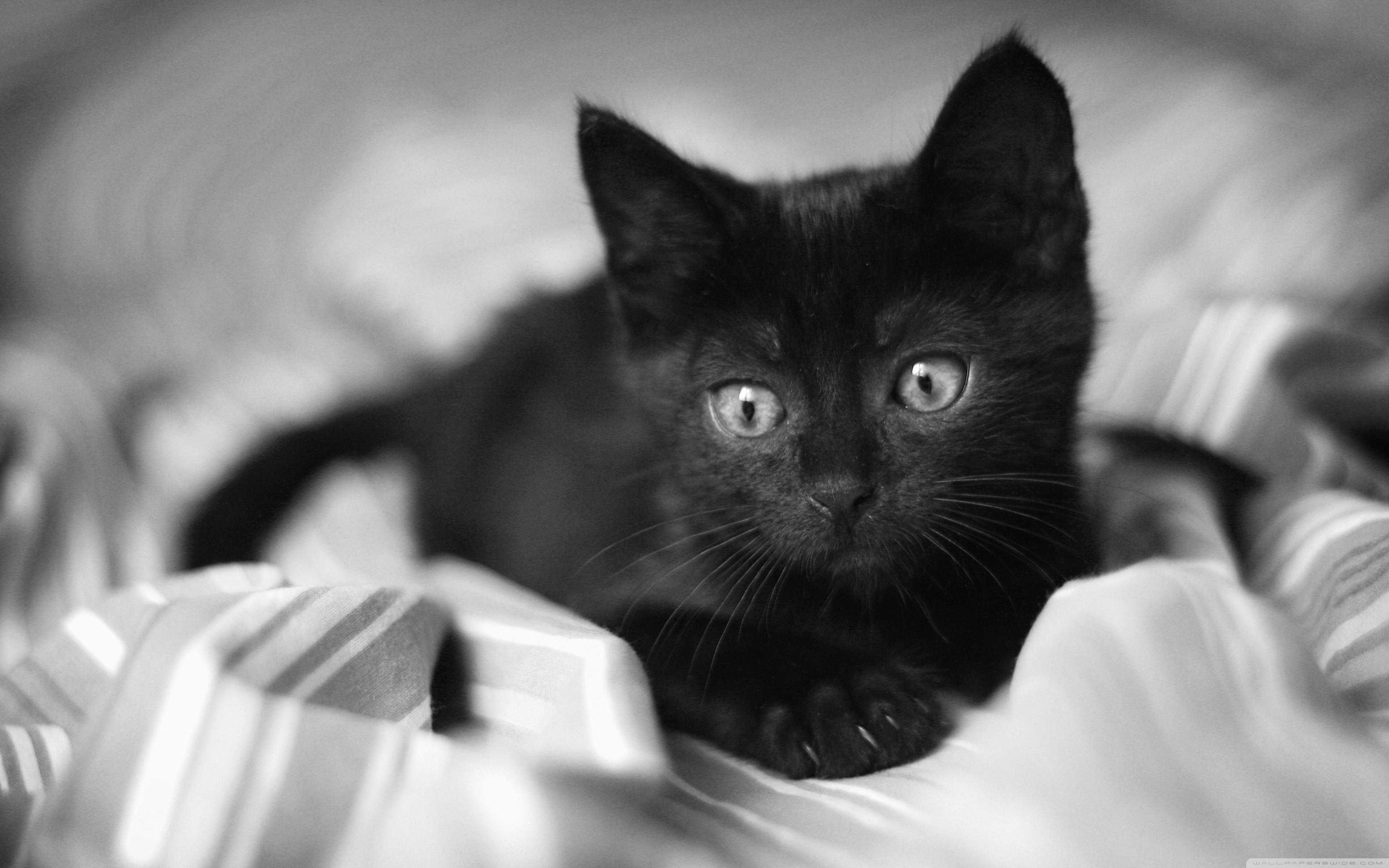 Free Photo Black Kitten Animal Black Cat Free Download Jooinn