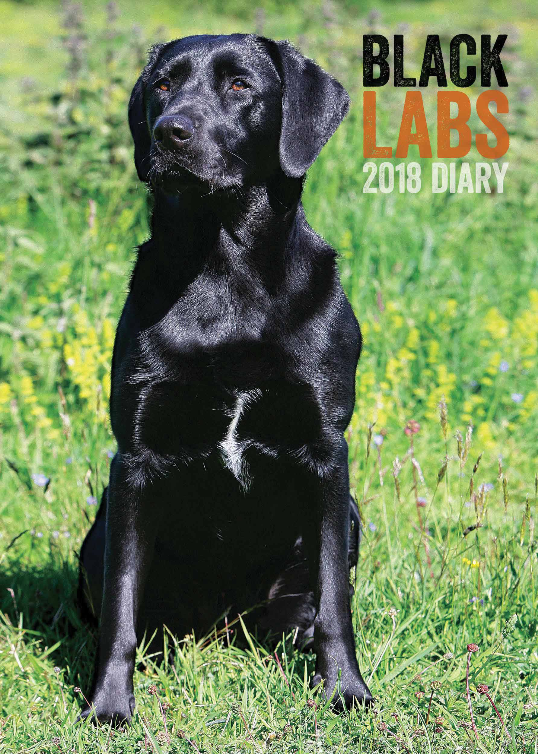 Labrador photo