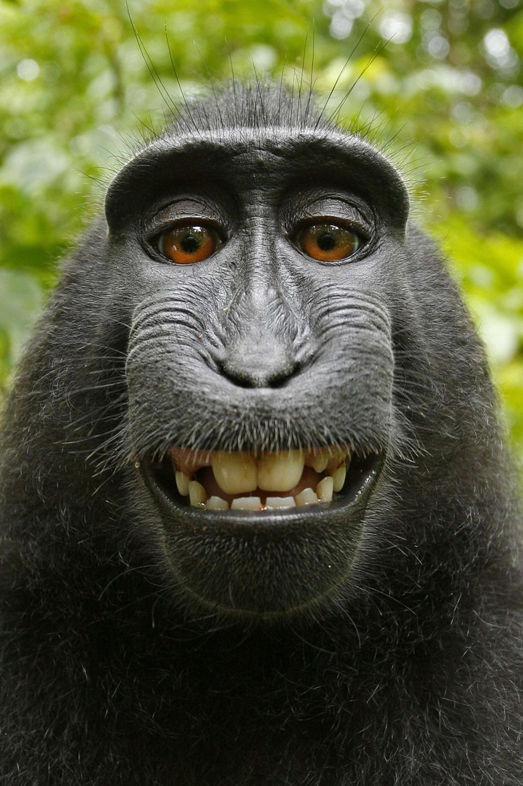 Black macaca photo