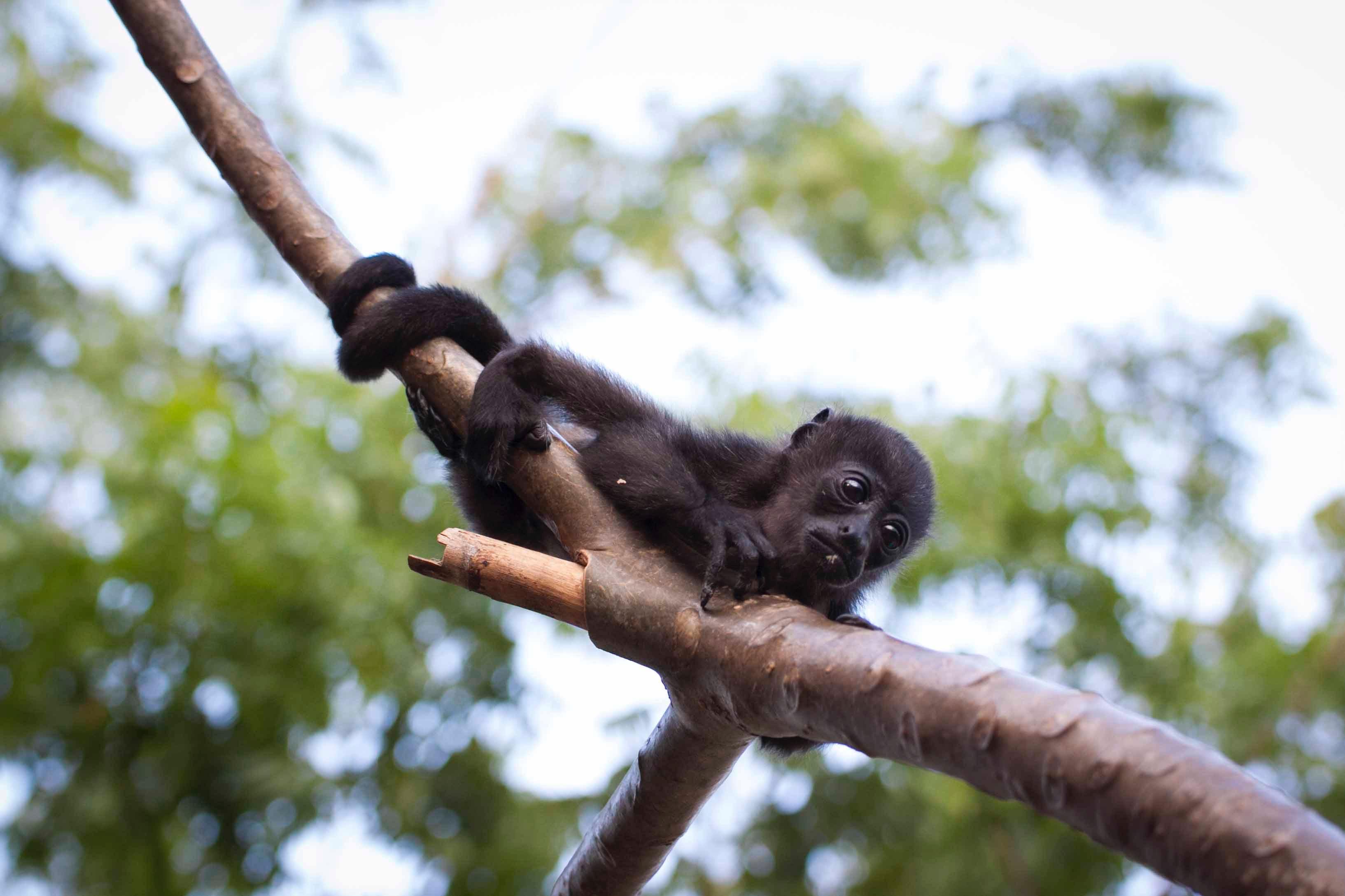 Black monkey hugging tree branch photo