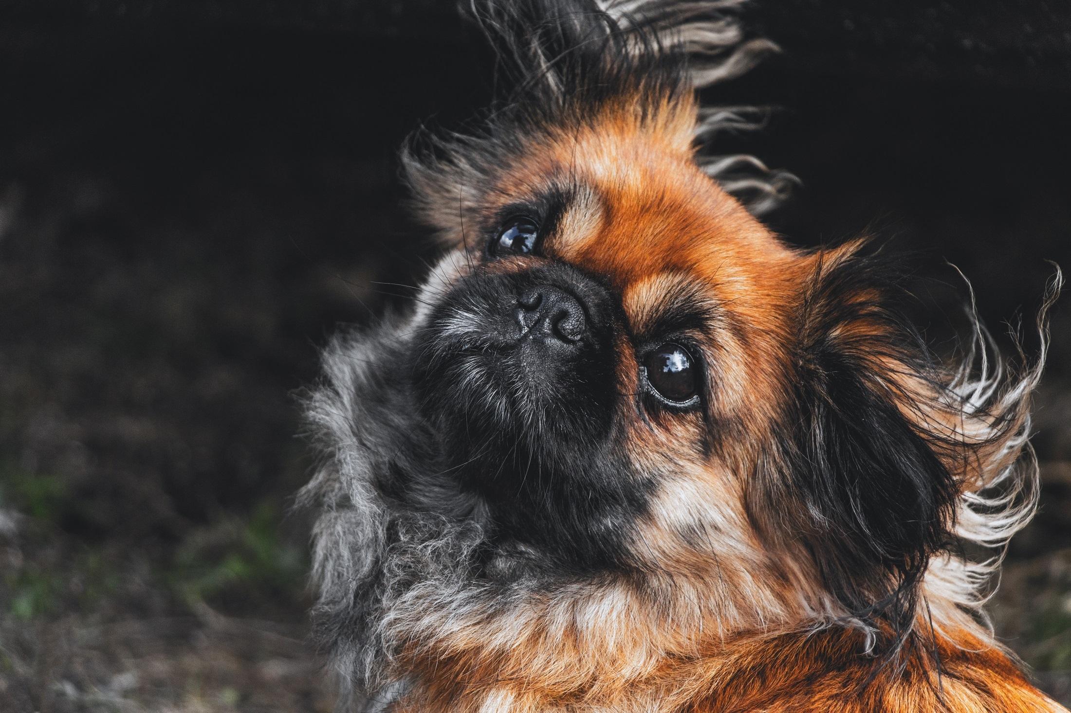 Black n brown pup photo