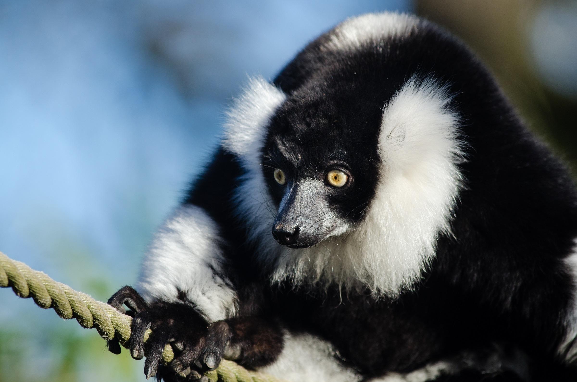 Black n white ruffed lemur photo