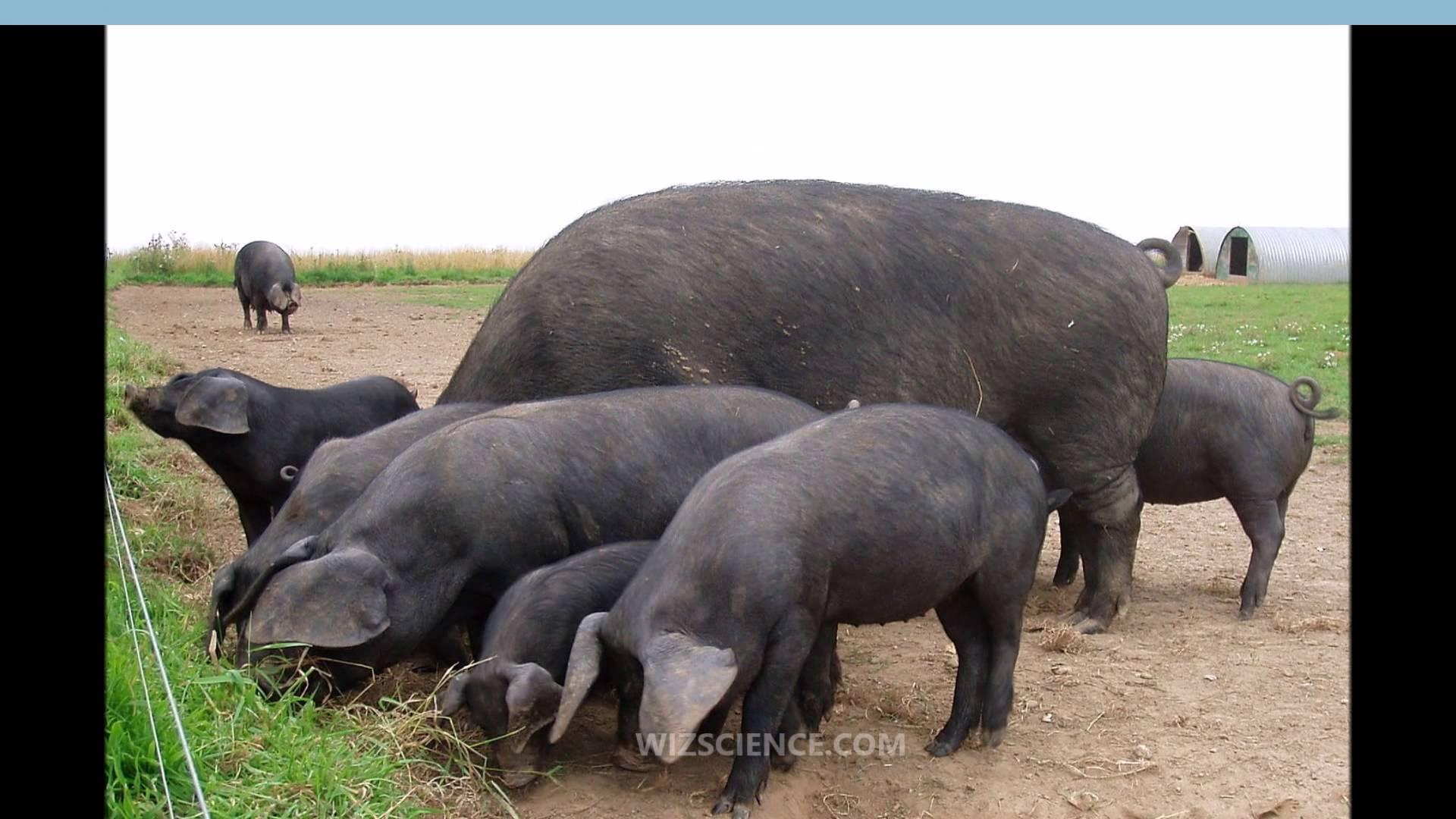 Chinese black pig photo