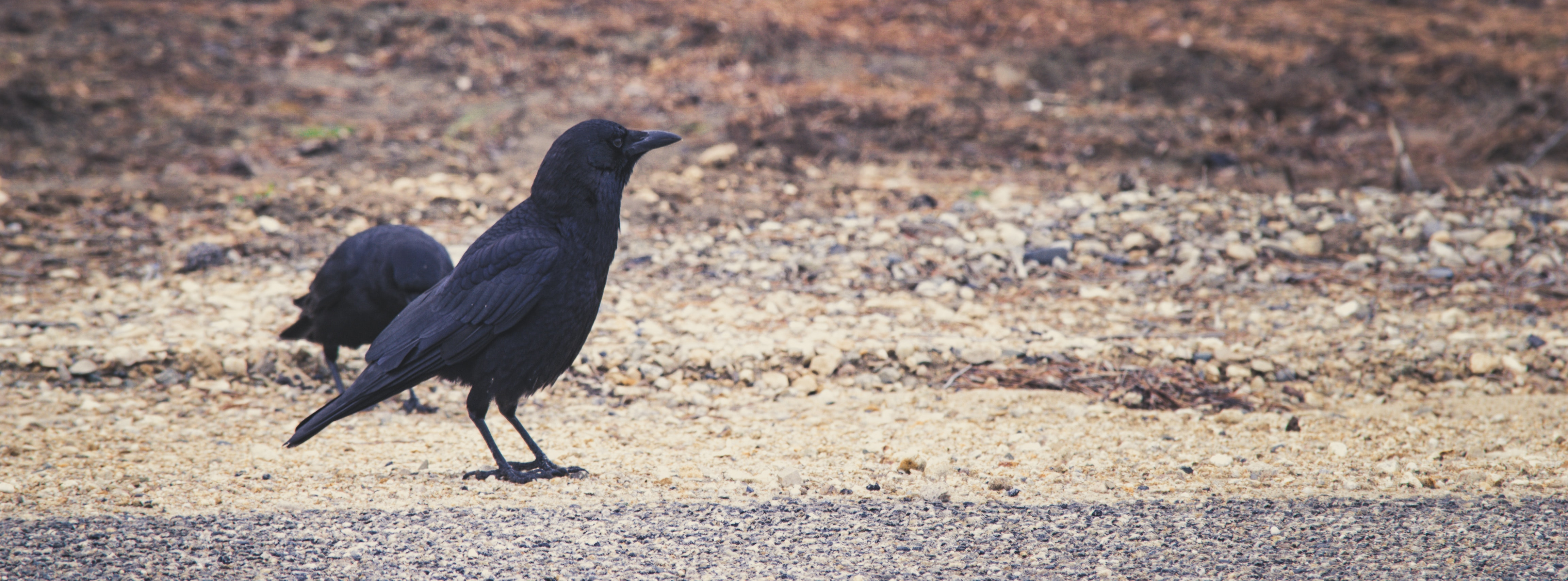 Black raven stands on the road photo