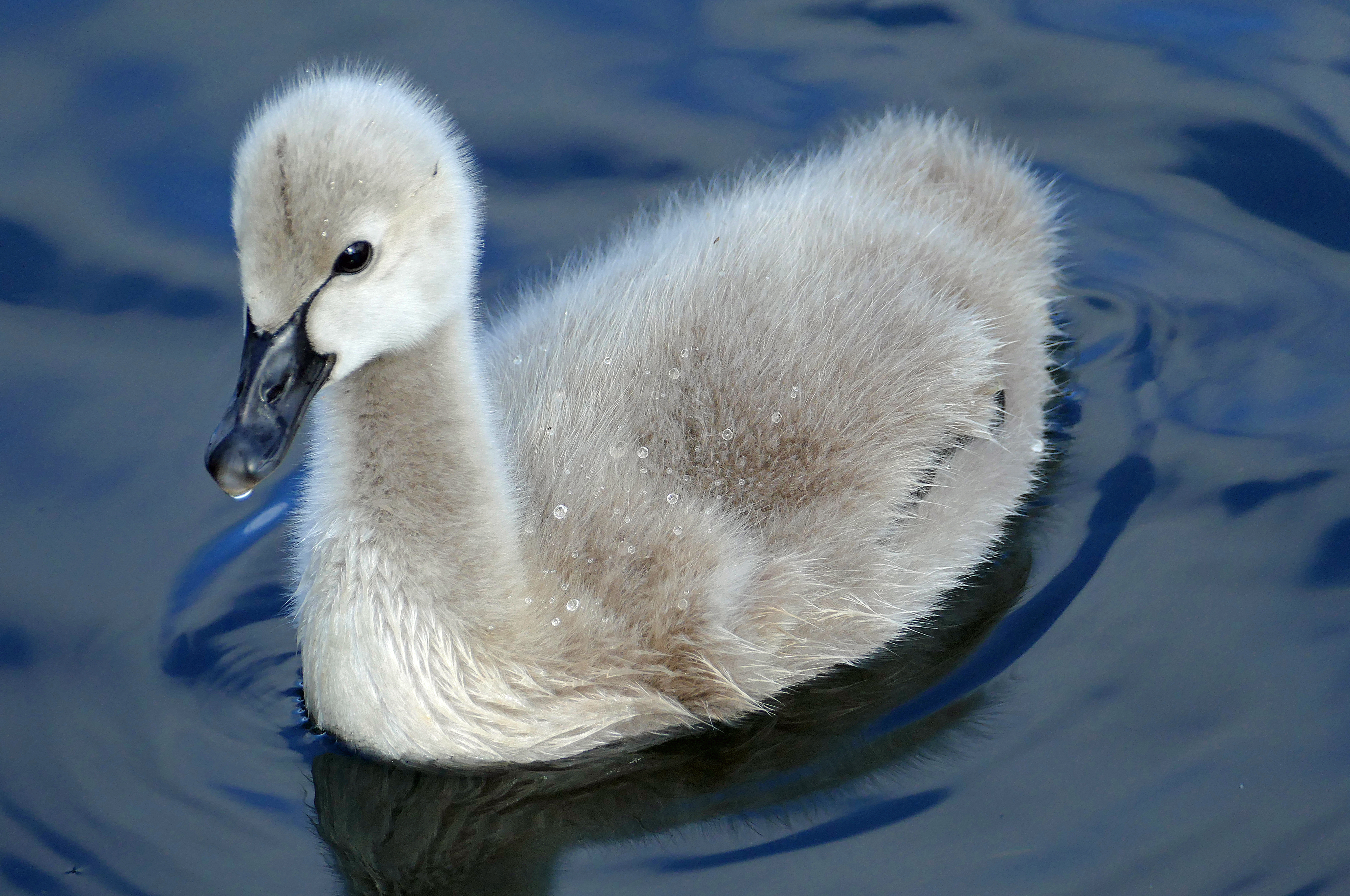 Black swan. cygnet. (cygnus atratus) photo
