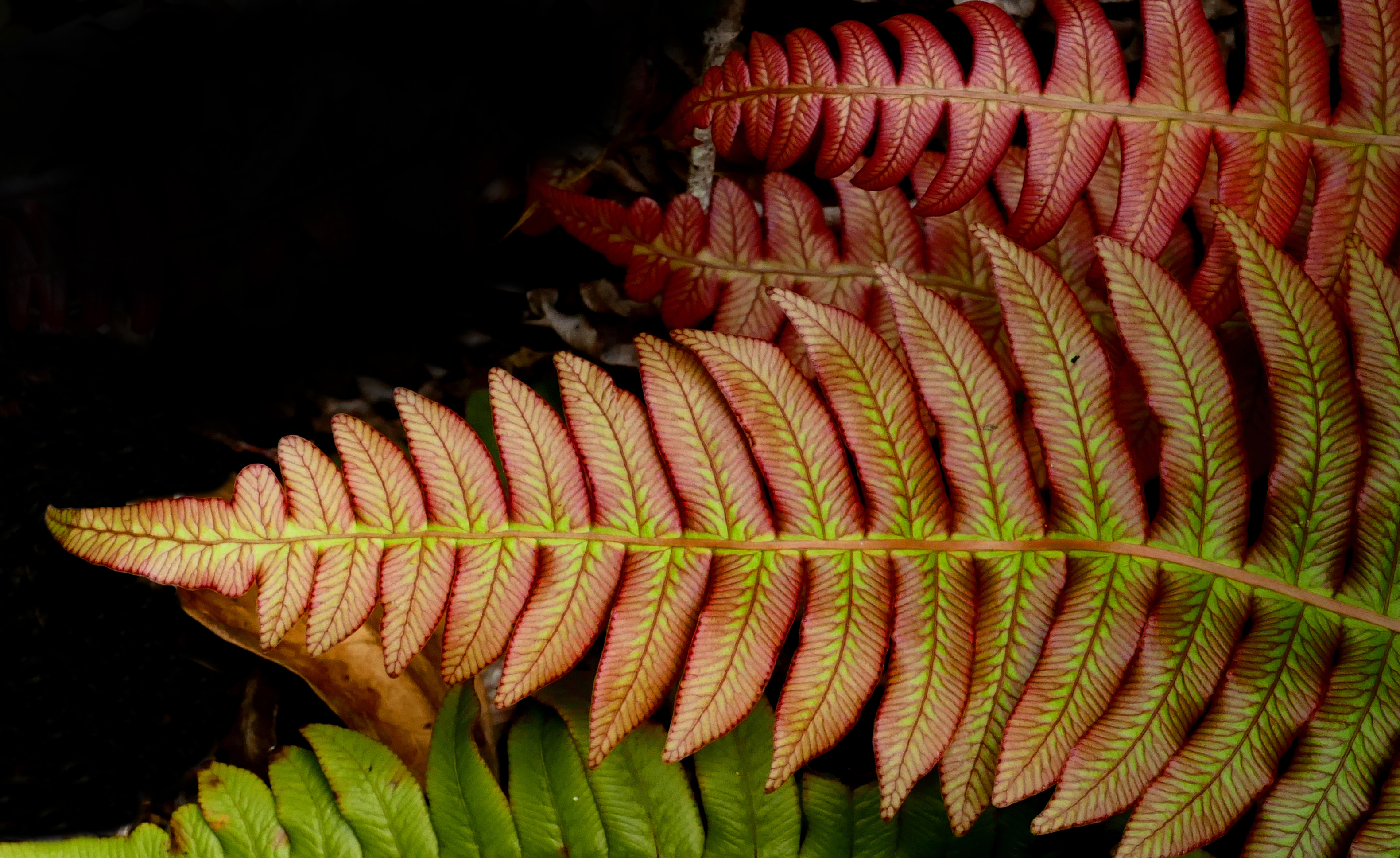 Blechnum novae-zelandiae,(palm-leaf fern ) photo