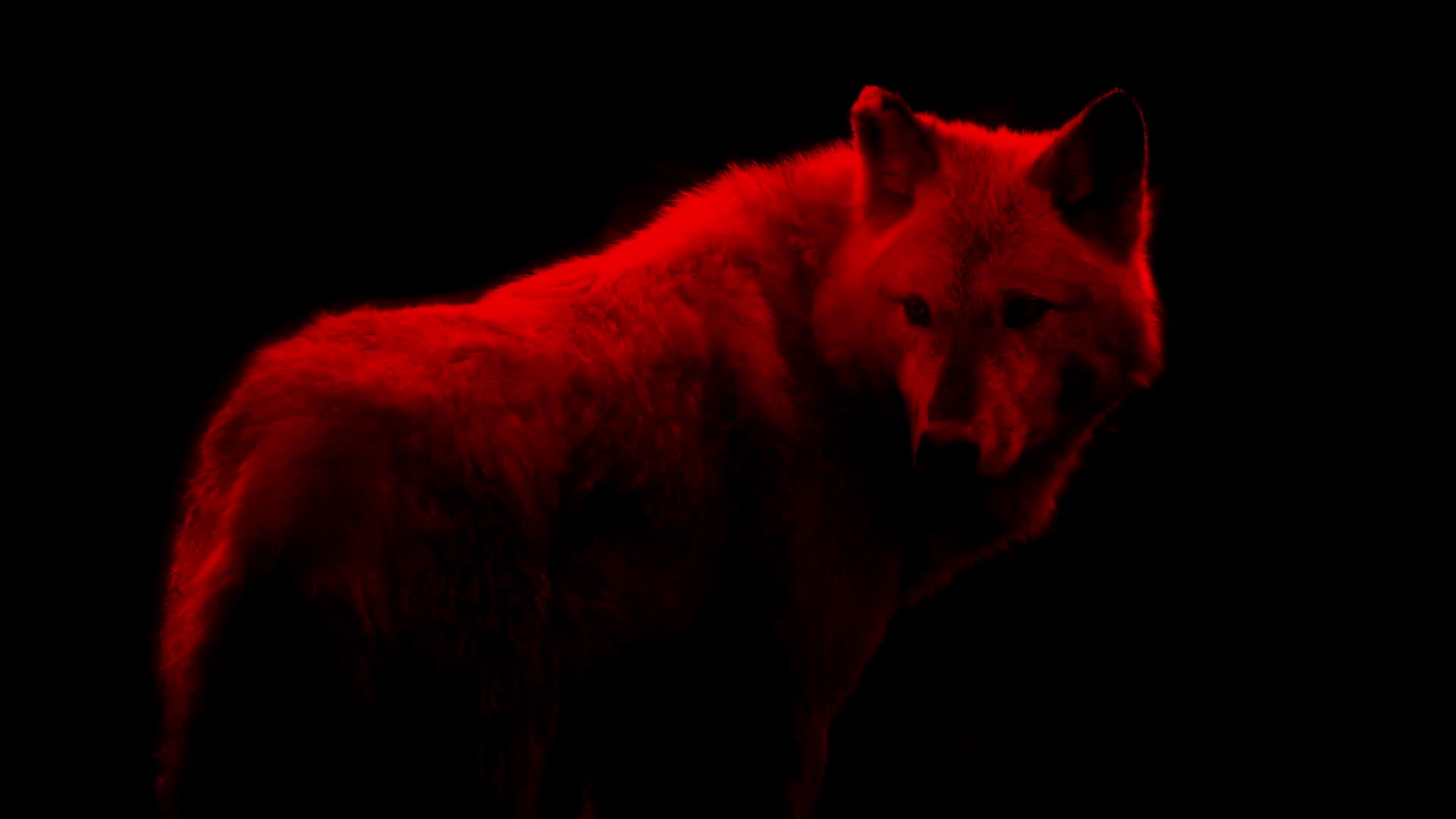 Blood Red Wolf Abstract Stock Video Footage - Videoblocks