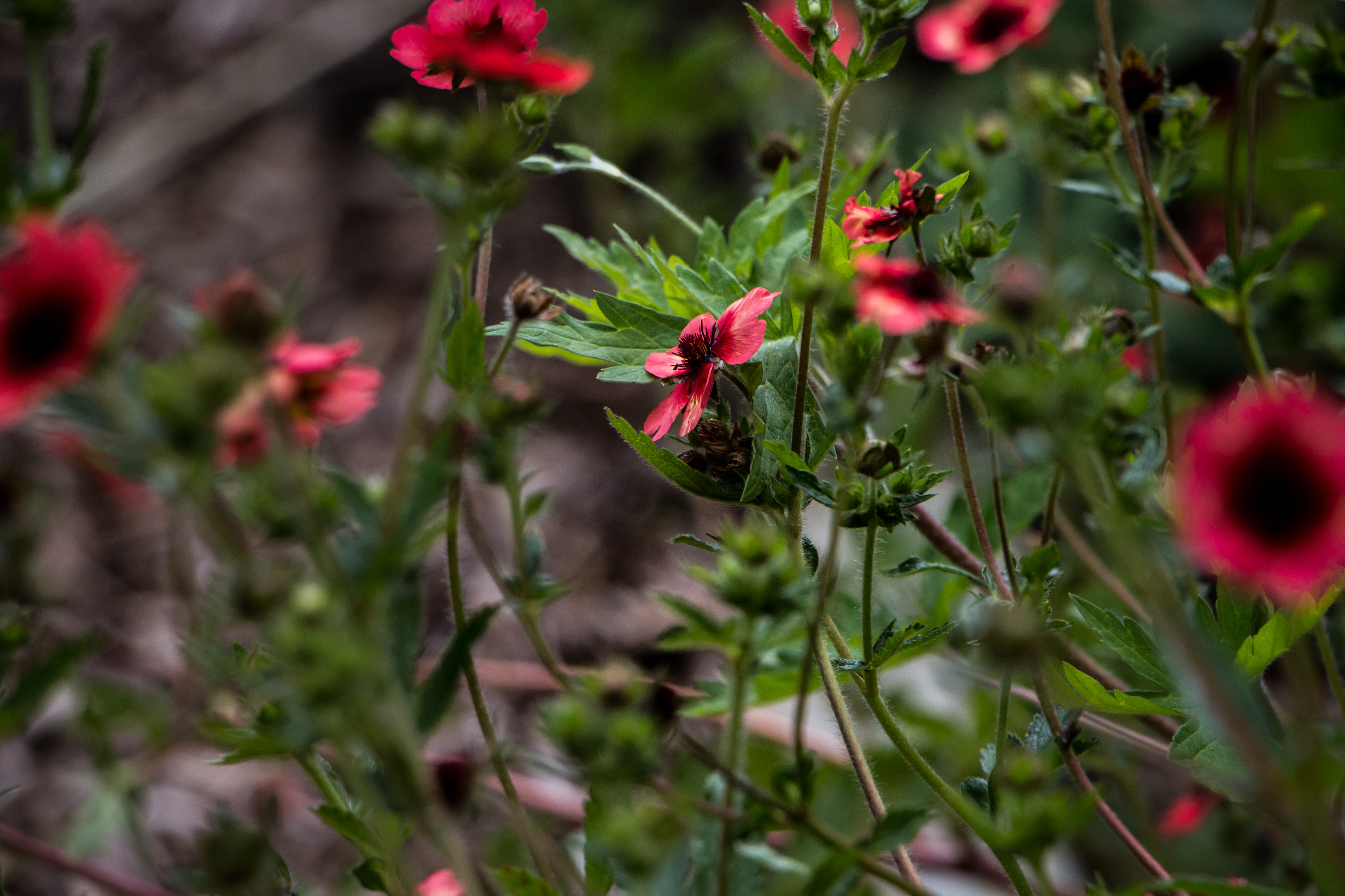 Blood red, Artistic, Beautiful, Blooming, Flowers, HQ Photo